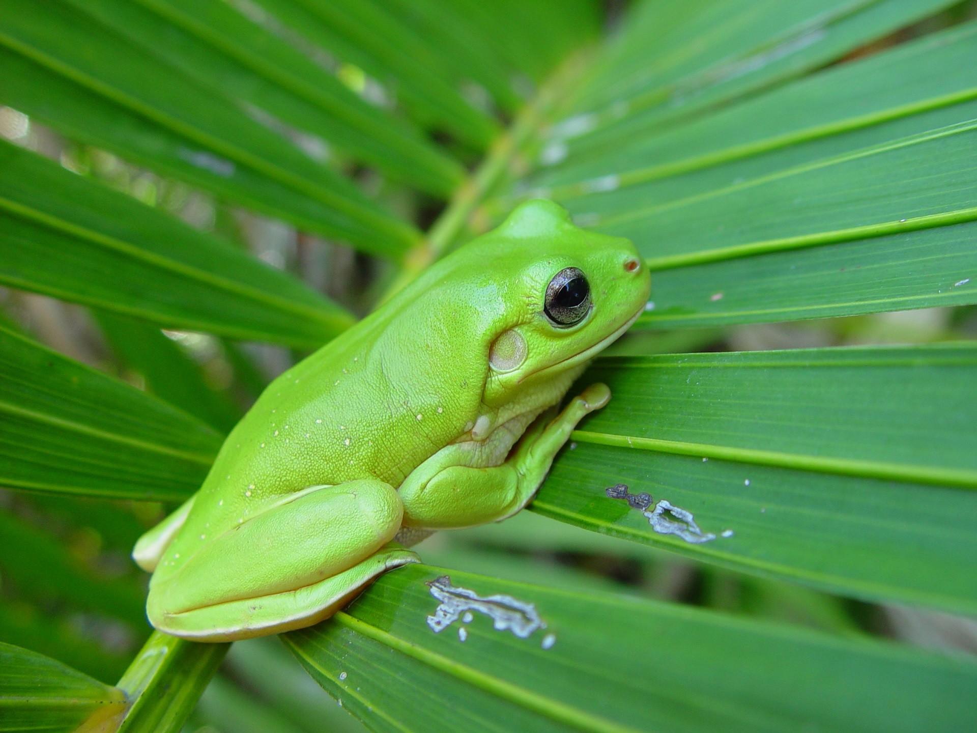 Res: 1920x1440, Green tree frog wallpaper - photo#12