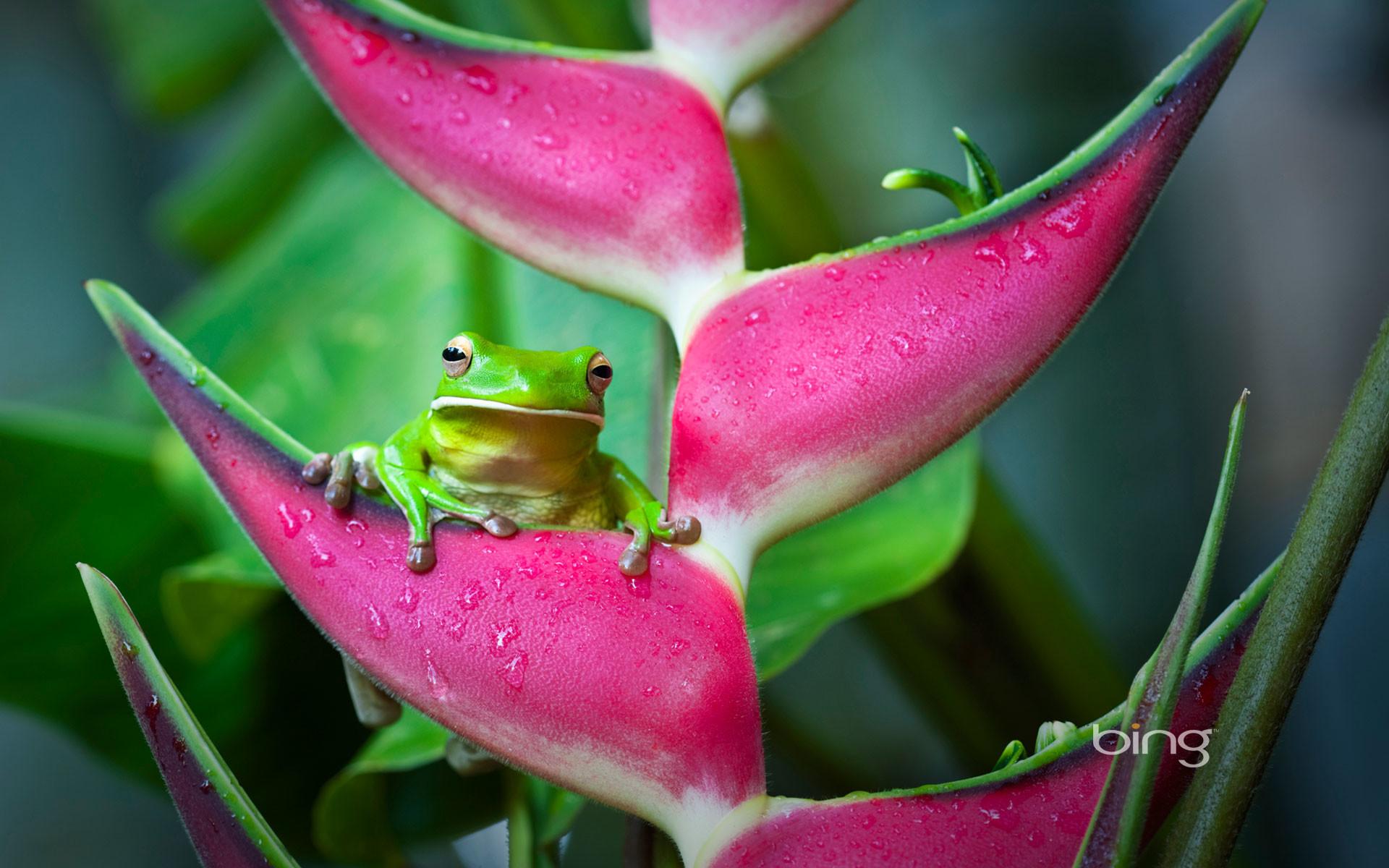 Res: 1920x1200, White-lipped-tree-frog. 2013-02-03 1920 × 1200 .