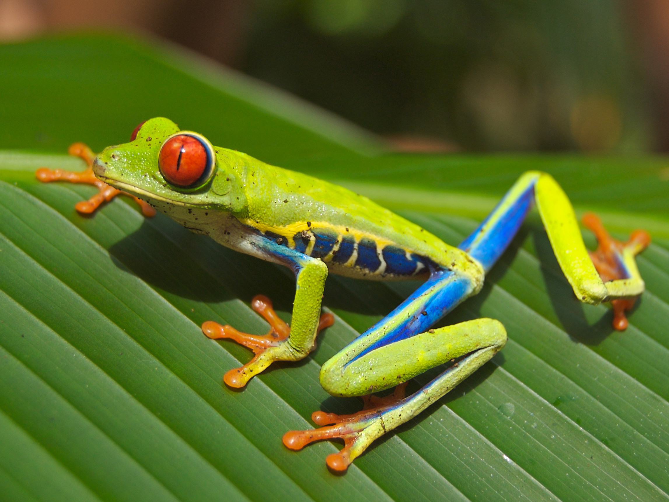 Res: 2293x1720, Tree Frog Wallpapers 16 - 2293 X 1720