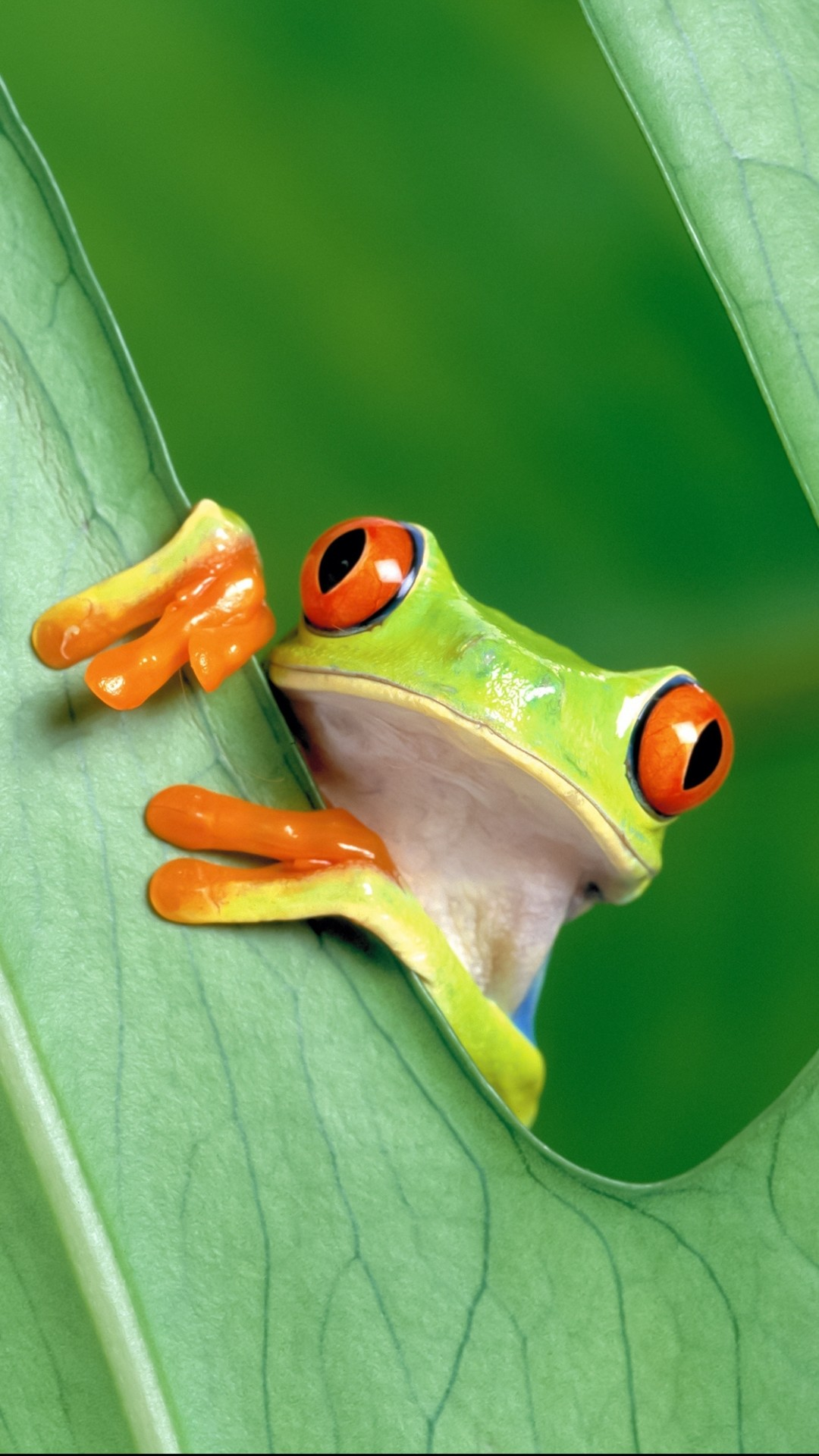 Res: 1080x1920, Animal / Red Eyed Tree Frog () Mobile Wallpaper