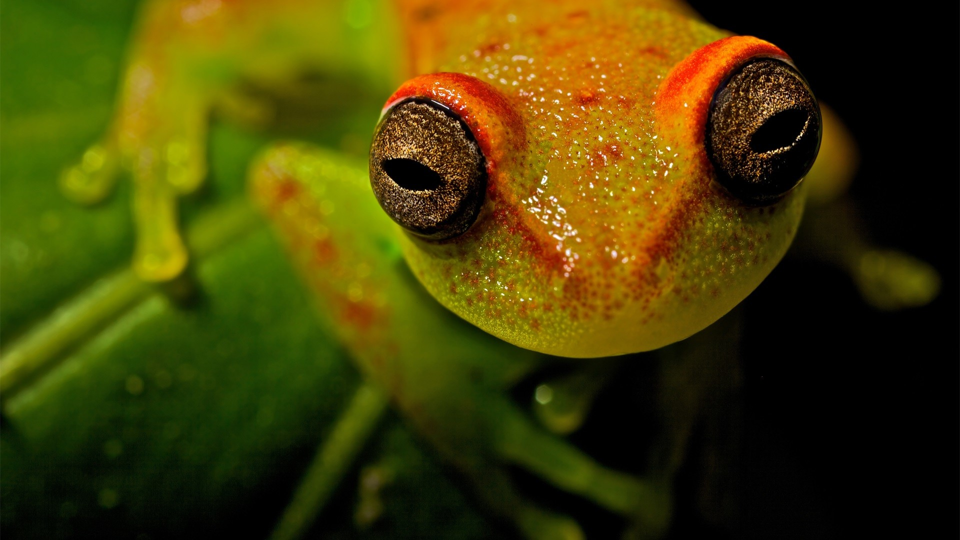 Res: 1920x1080, White-Lipped Tree Frog Wallpapers 12 - 1920 X 1080