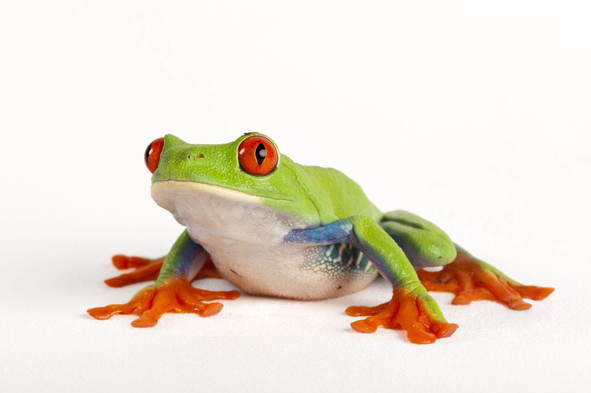 Res: 2048x1362, Images of Tree Frog |