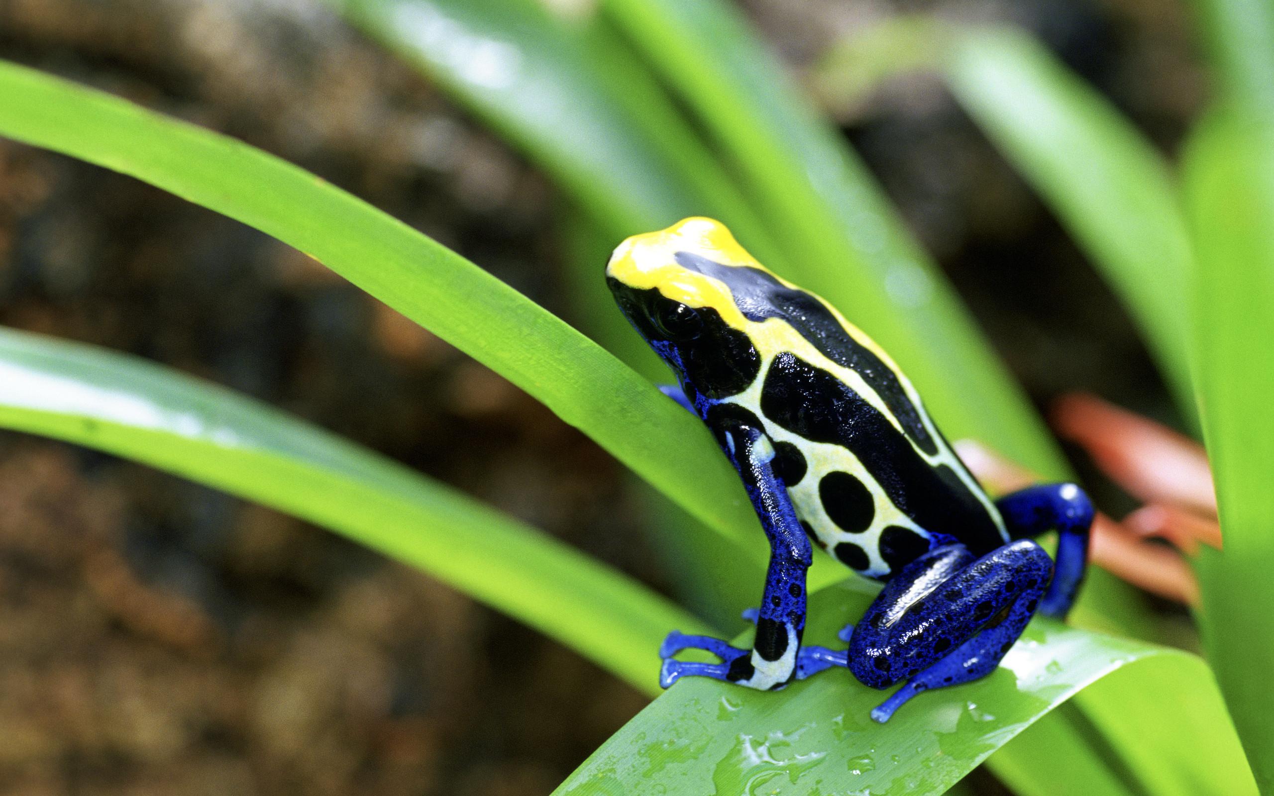 Res: 2560x1600, Animal - Poison dart frog Wallpaper