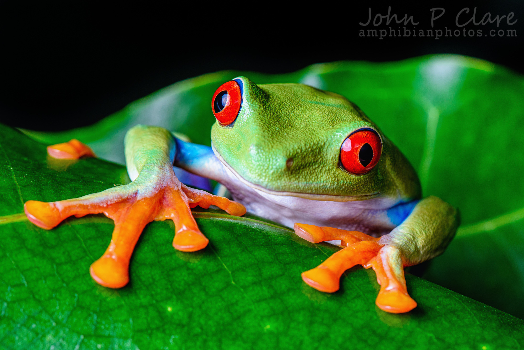 Res: 2000x1335, Red Eyed Tree Frog Wallpapers 22 - 2000 X 1335