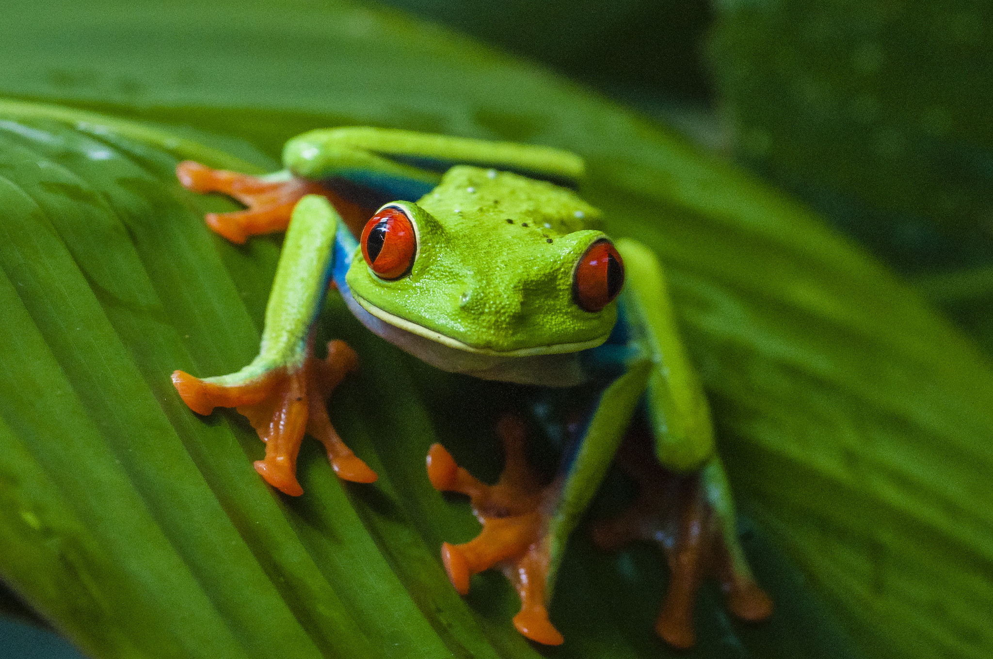 Res: 2048x1360, Red Eyed Tree Frog Wallpapers 18 - 2048 X 1360