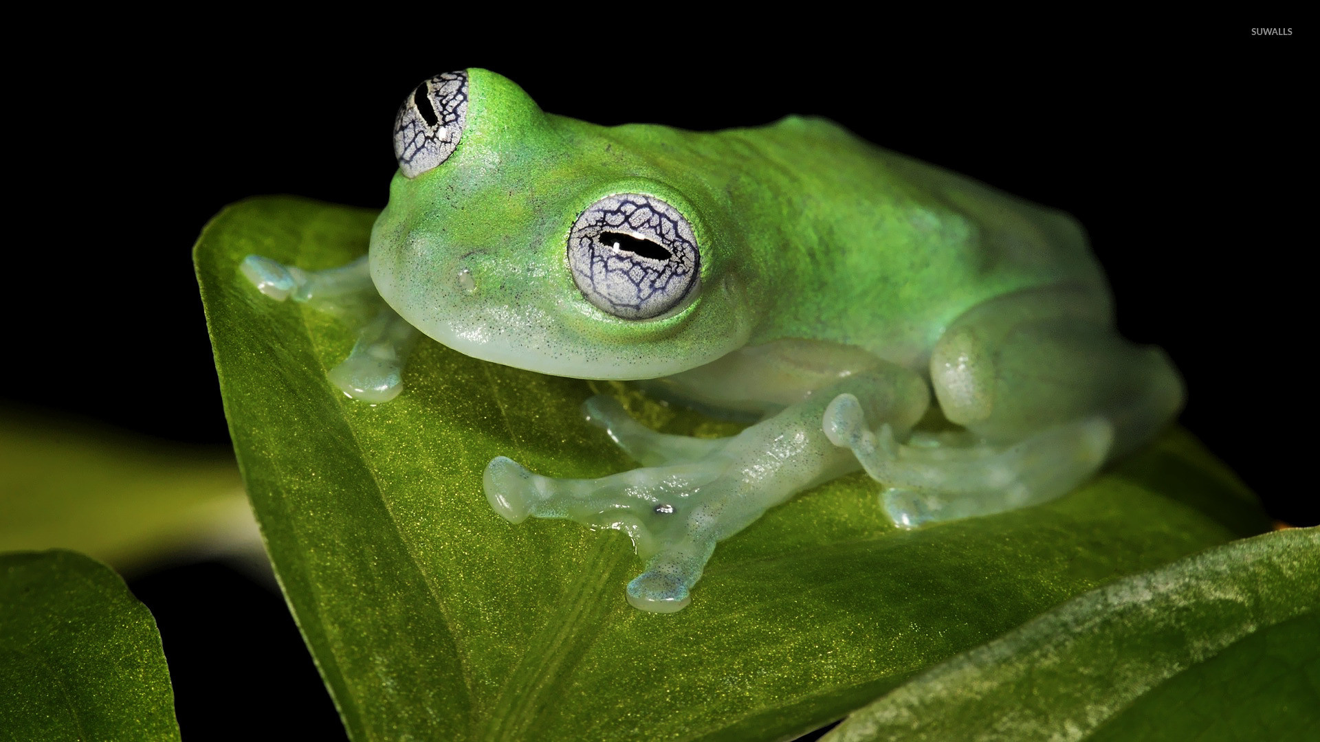 Res: 1920x1080, Glass frog wallpaper