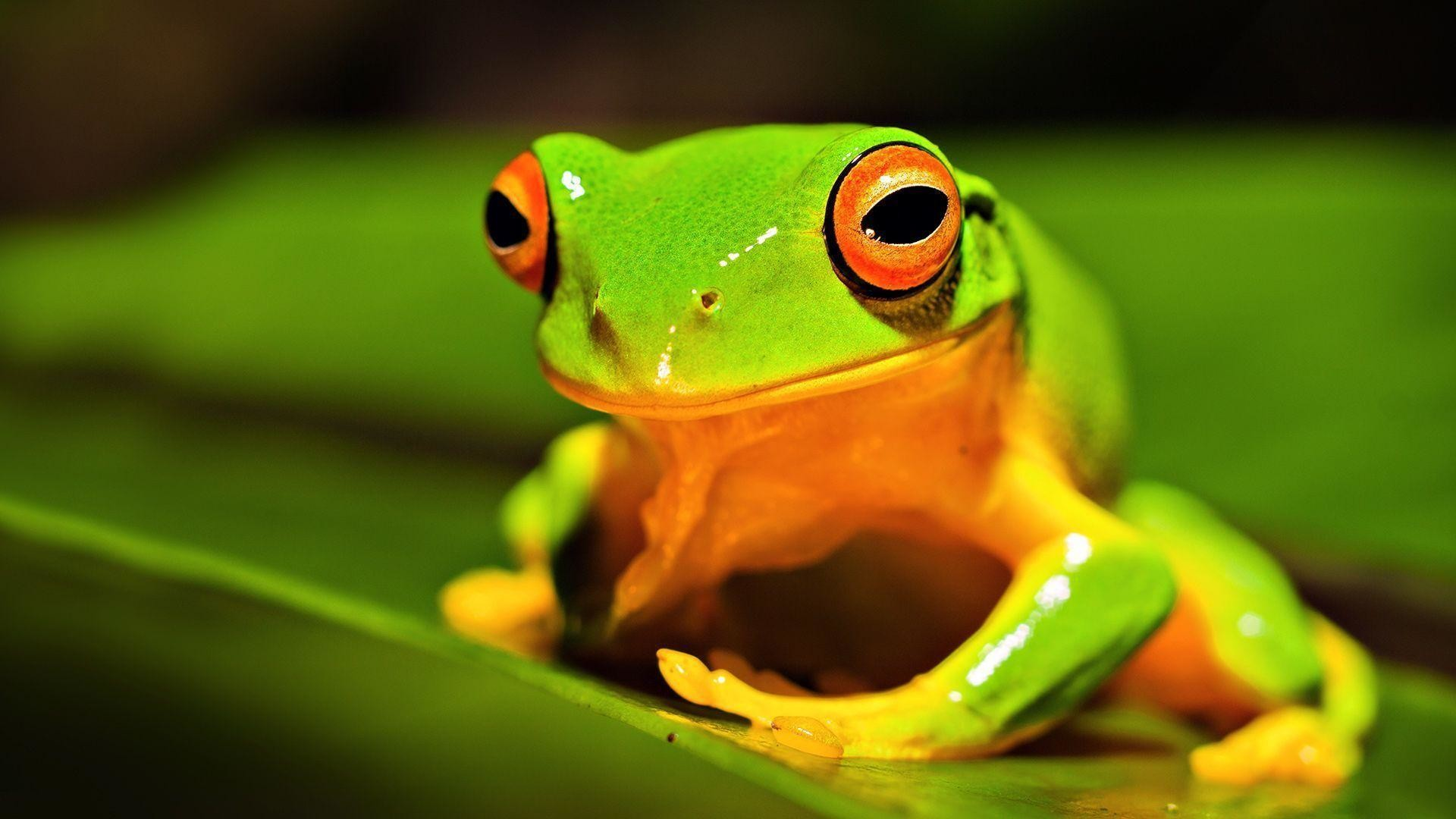 Res: 1920x1080, orange thighed tree frog Wallpaper | HD Wallpapers