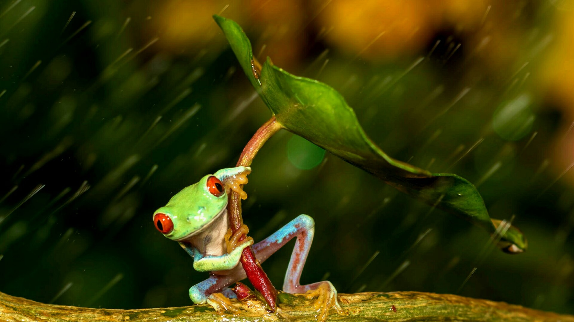 Res: 1920x1080, Red Eyed Tree Frog Wallpapers 23 - 1920 X 1080