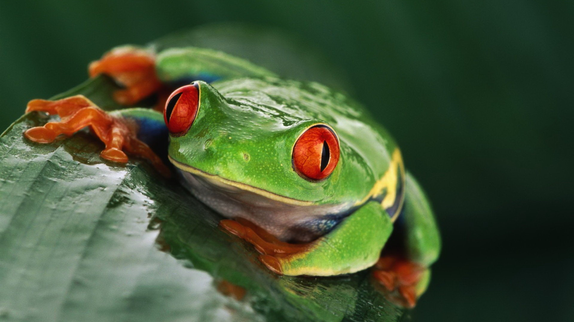 Res: 1920x1080, Animal - Red Eyed Tree Frog Wallpaper