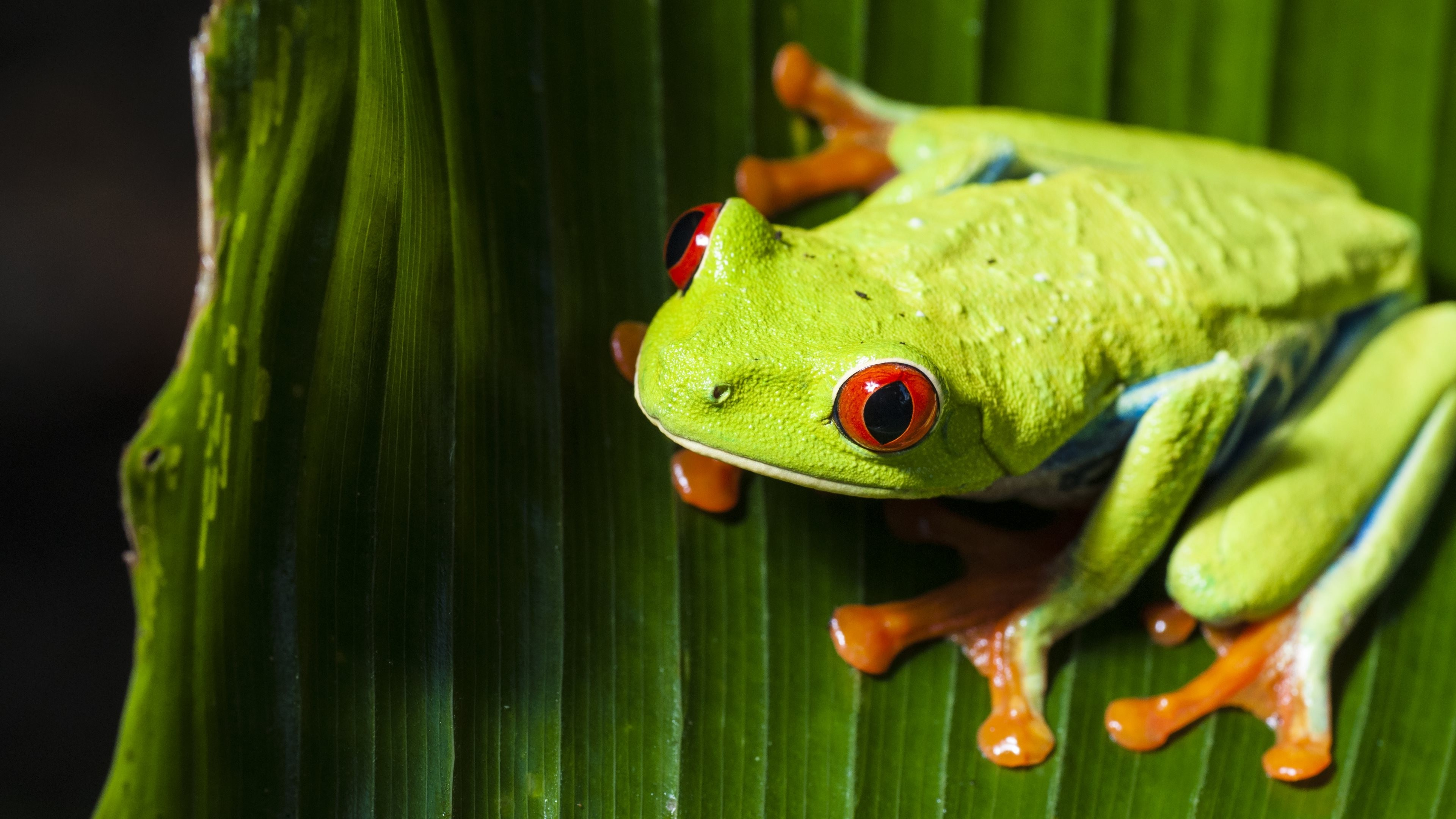 Res: 3840x2160, animals, Nature, Frog, Macro, Red Eyed Tree Frogs, Amphibian Wallpapers HD  / Desktop and Mobile Backgrounds