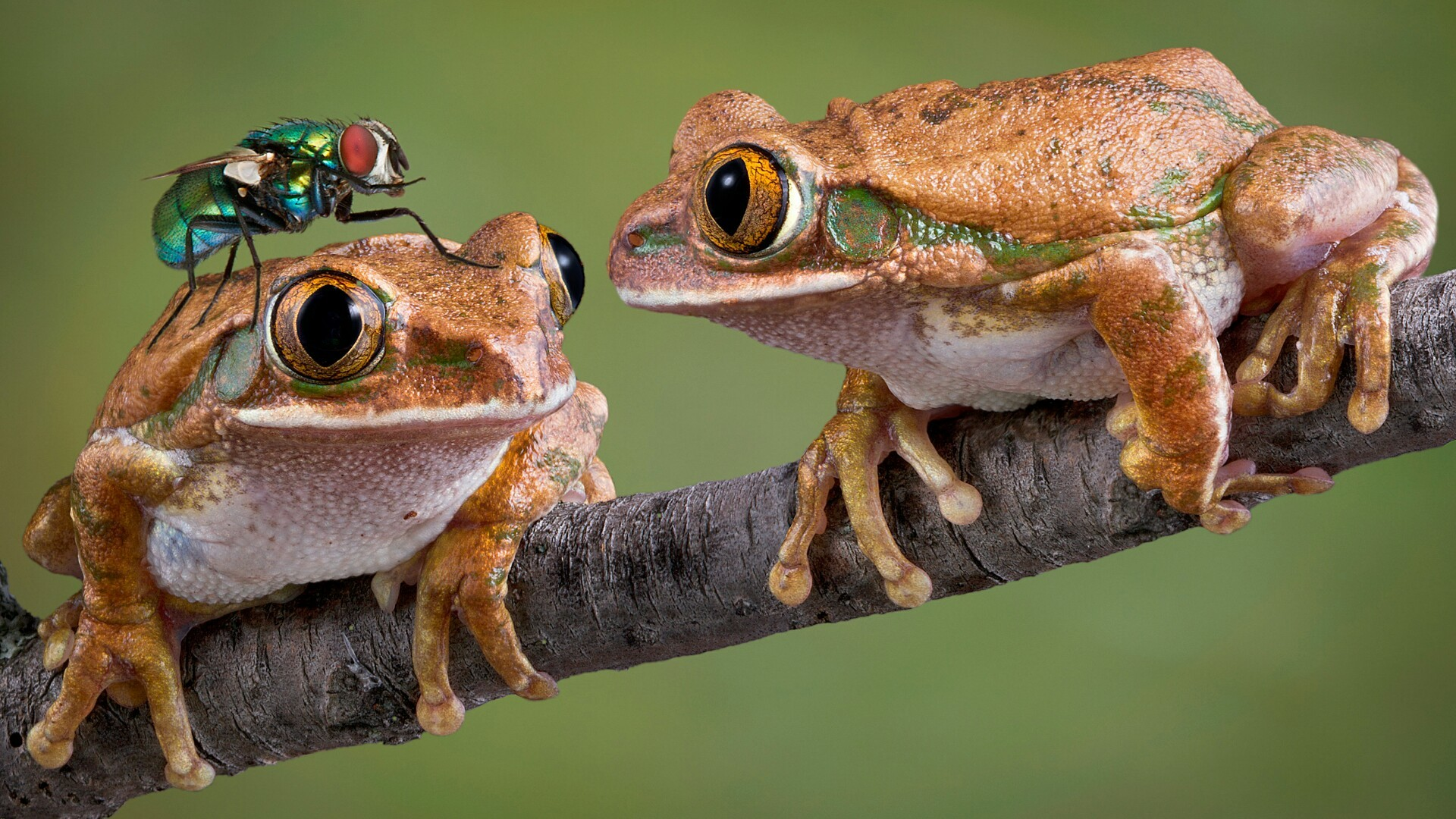 Res: 1920x1080, Funny Frogs Wallpaper | Wallpaper Studio 10 | Tens of thousands HD and  UltraHD wallpapers for Android, Windows and Xbox
