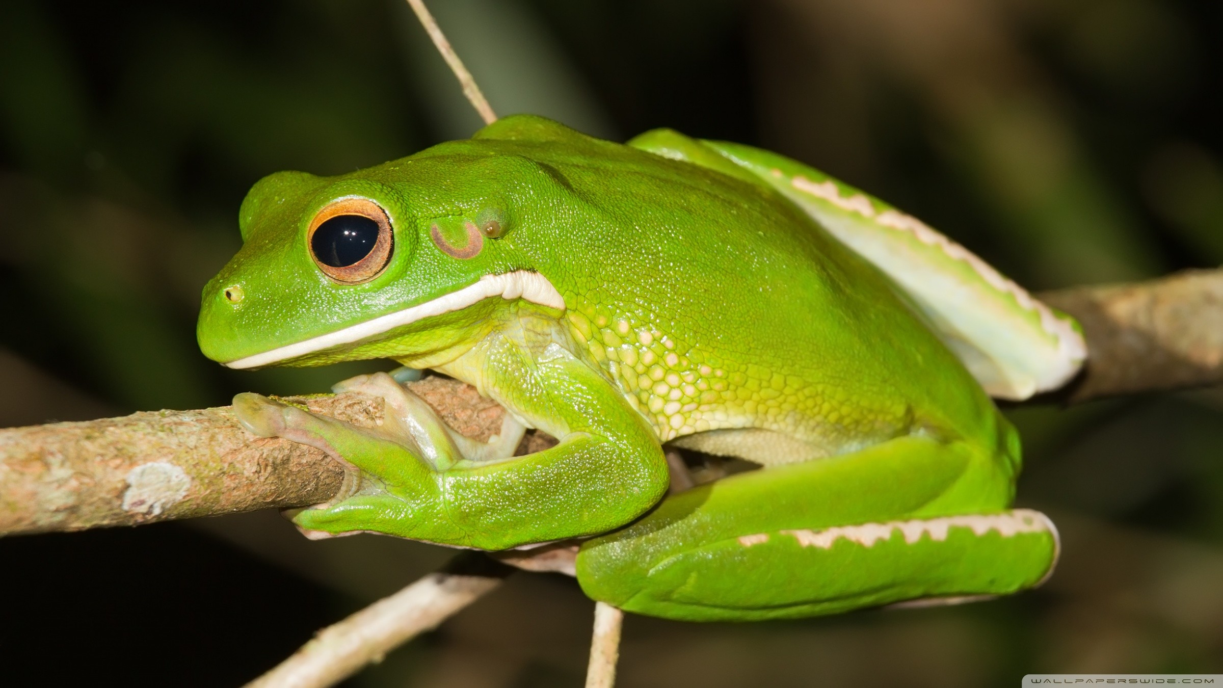 Res: 2400x1350, White-Lipped Tree Frog Wallpapers 1 - 2400 X 1350