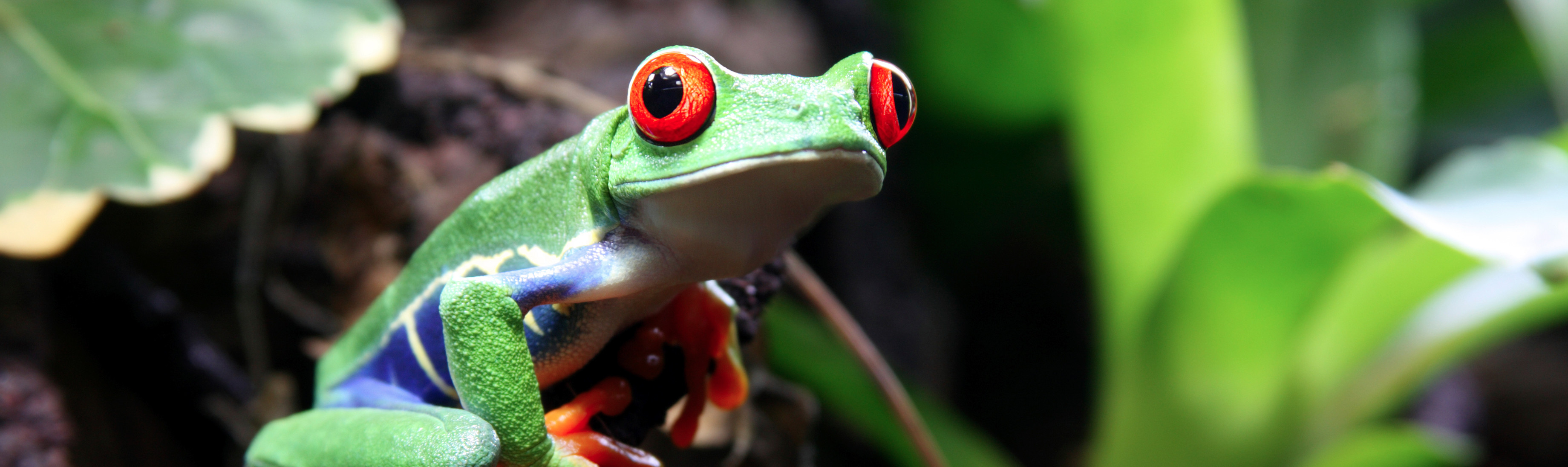 Res: 3680x1095, White-Lipped Tree Frog Wallpapers 24 - 3680 X 1095