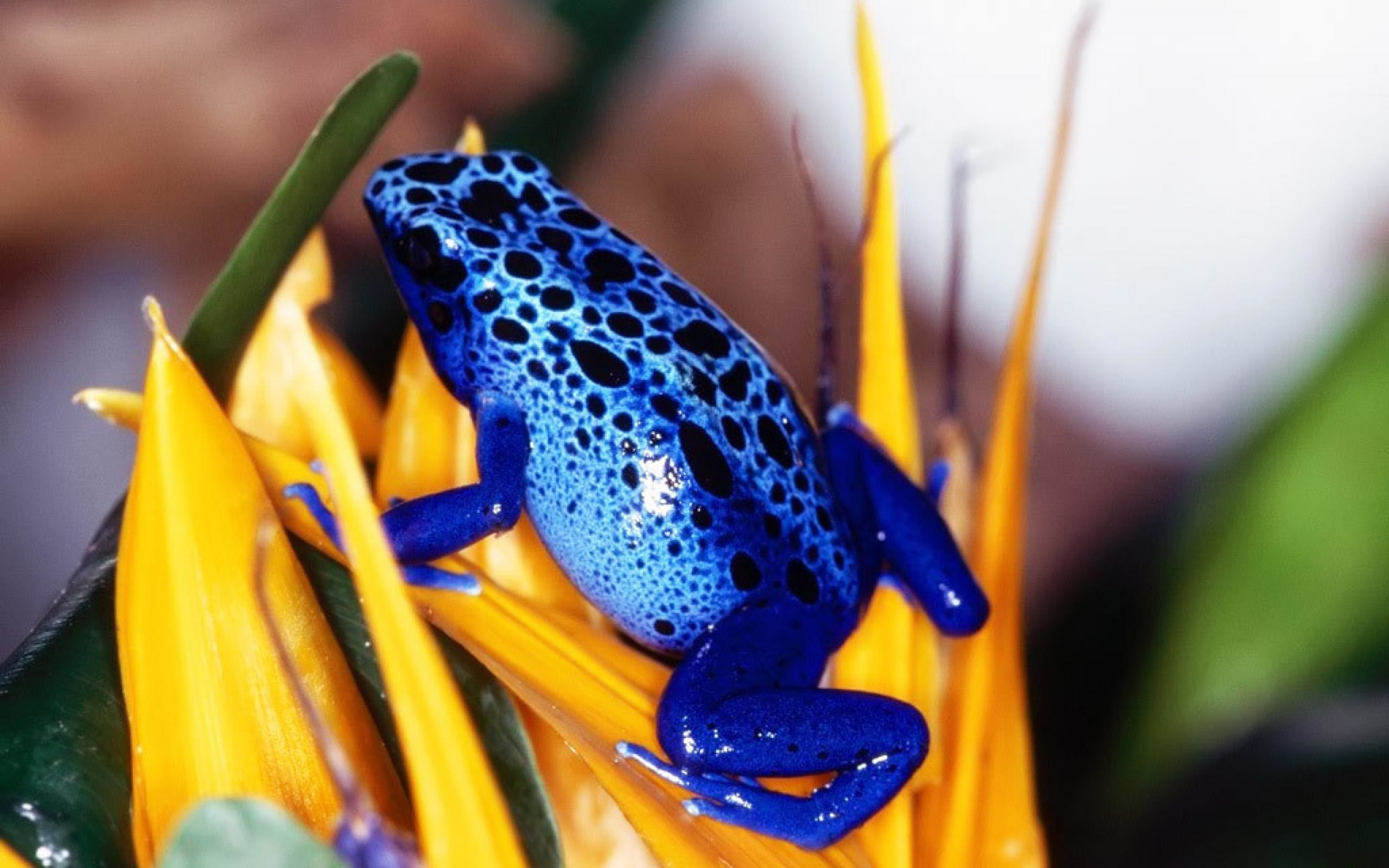 Res: 2560x1600, Blue Tree Frogs Wallpaper