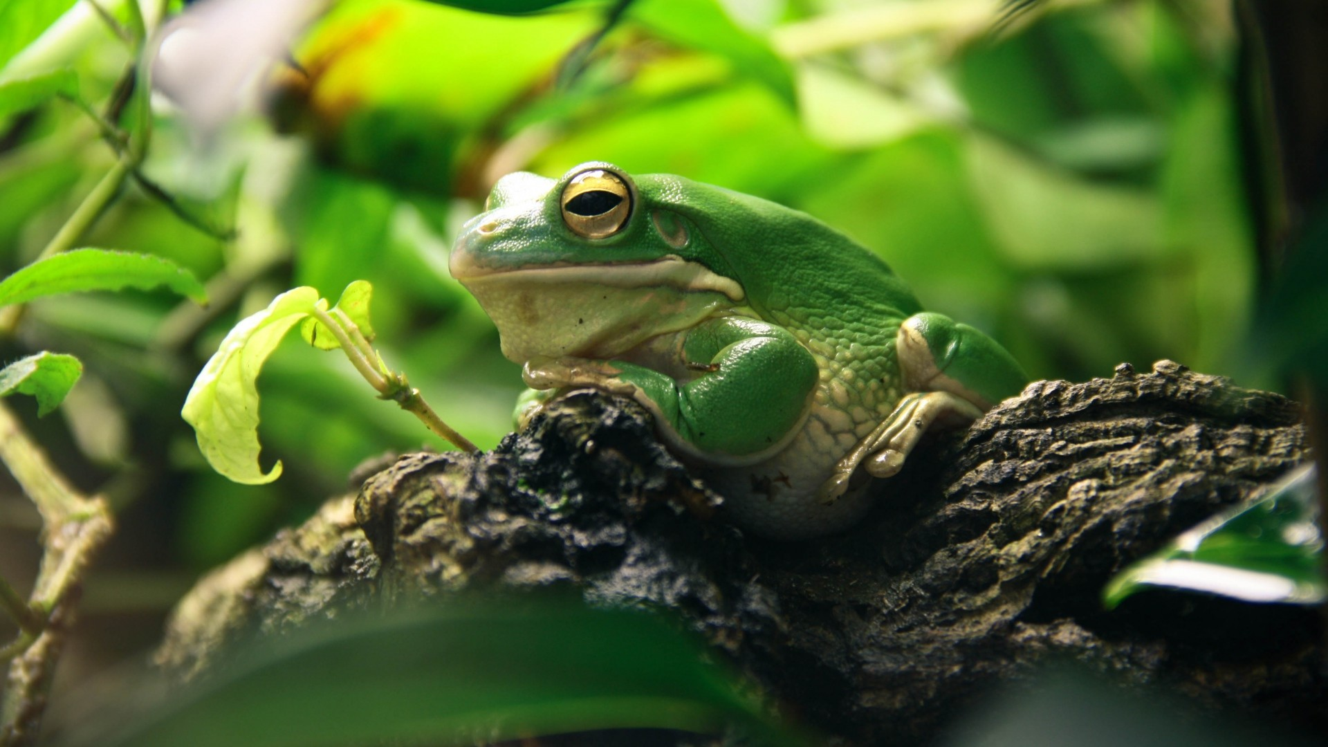 Res: 1920x1080, White-Lipped Tree Frog Wallpapers 6 - 1920 X 1080
