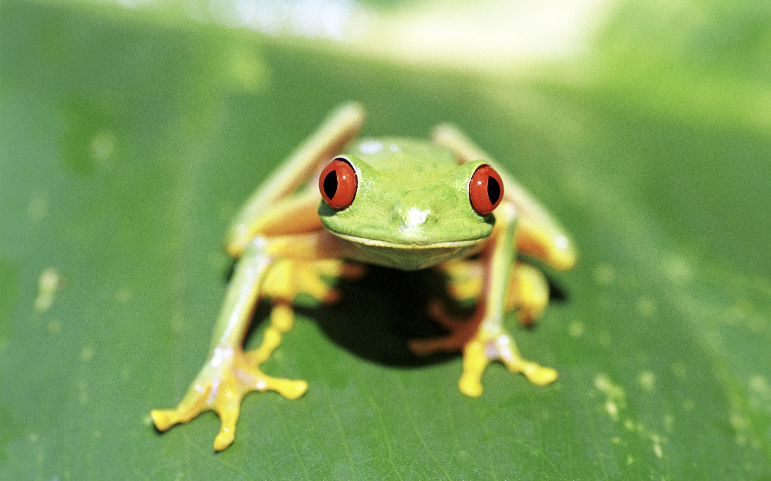 Res: 2560x1600, White-Lipped Tree Frog Wallpapers 13 - 2560 X 1600