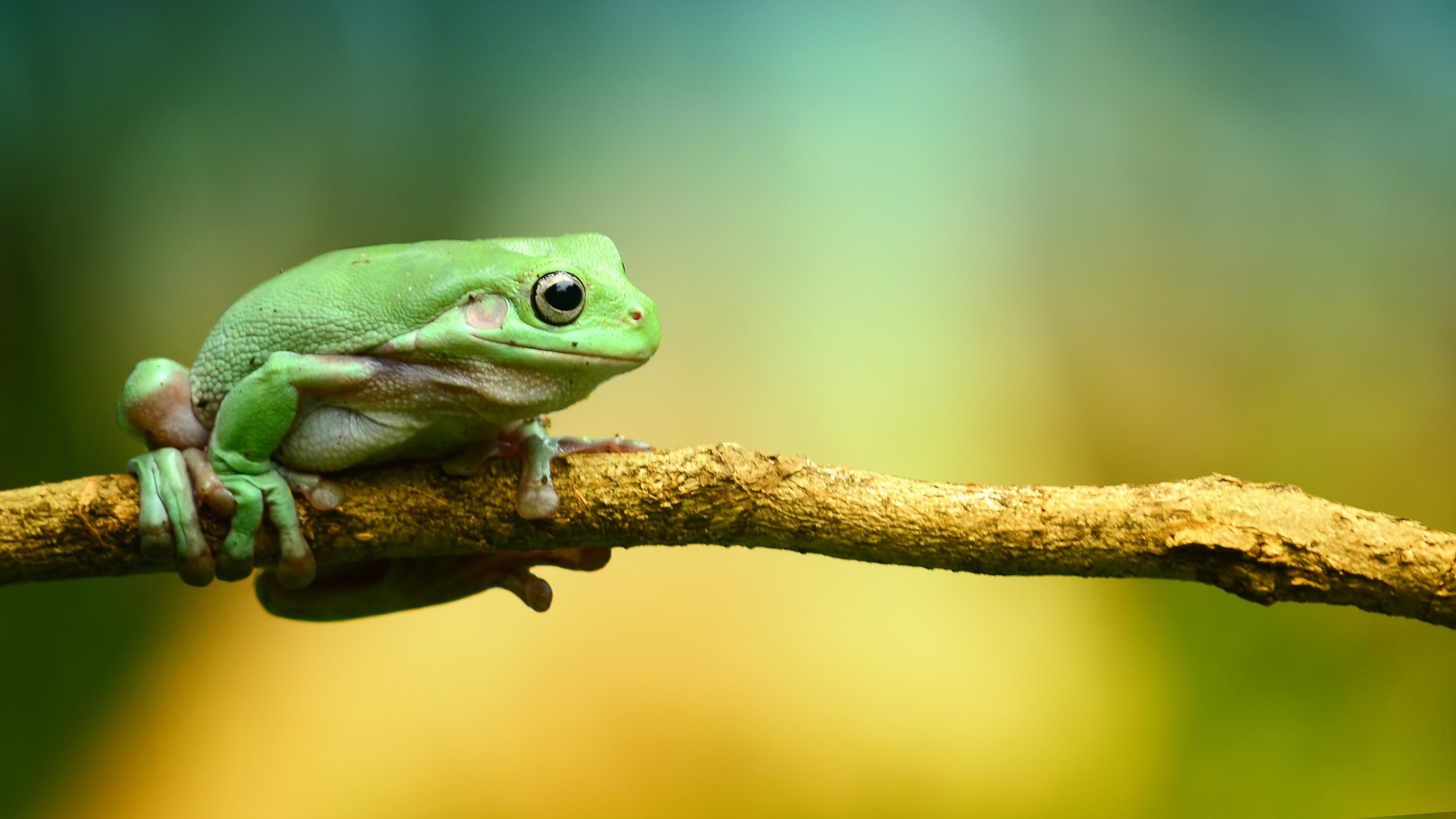 Res: 3840x2160, Green Frog