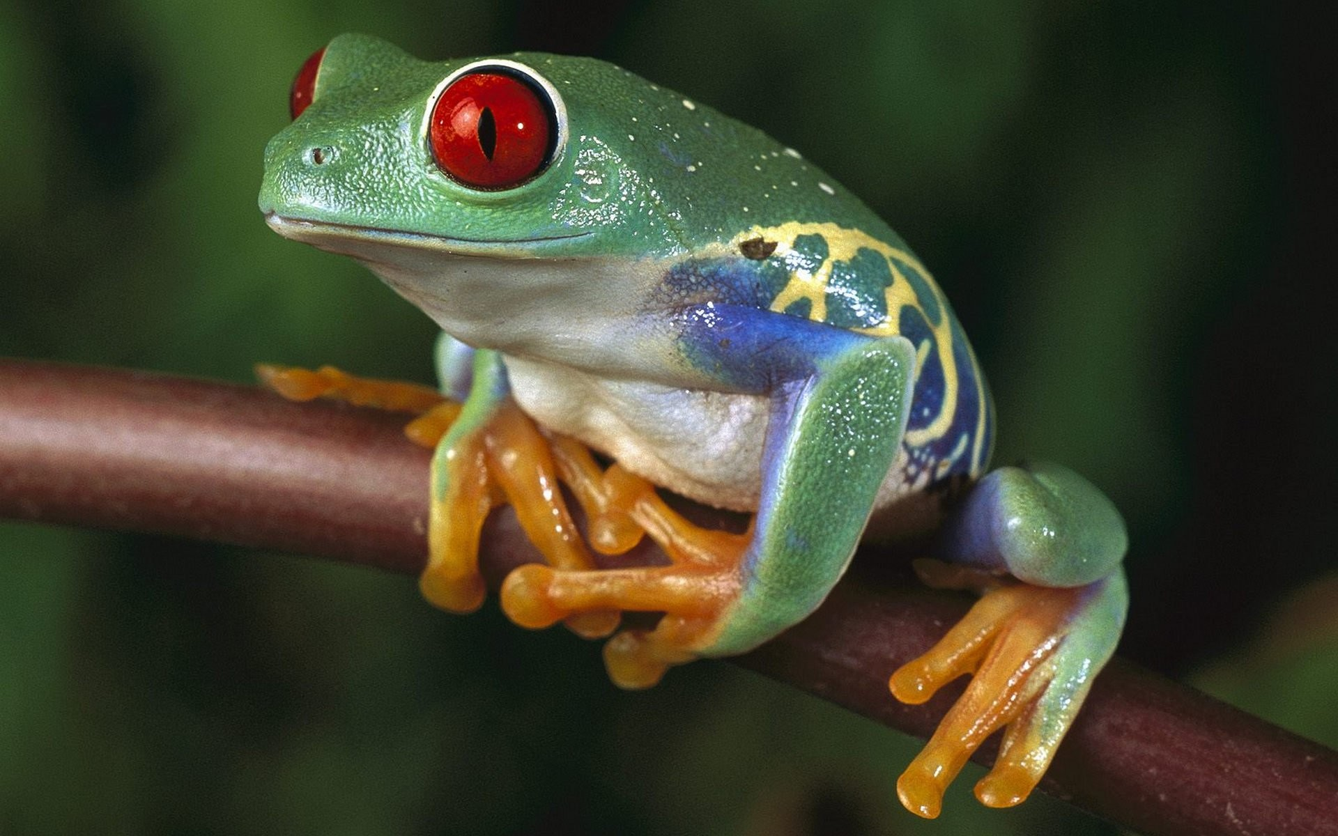 Res: 1920x1200, Tiere - Red Eyed Tree Frog Wallpaper