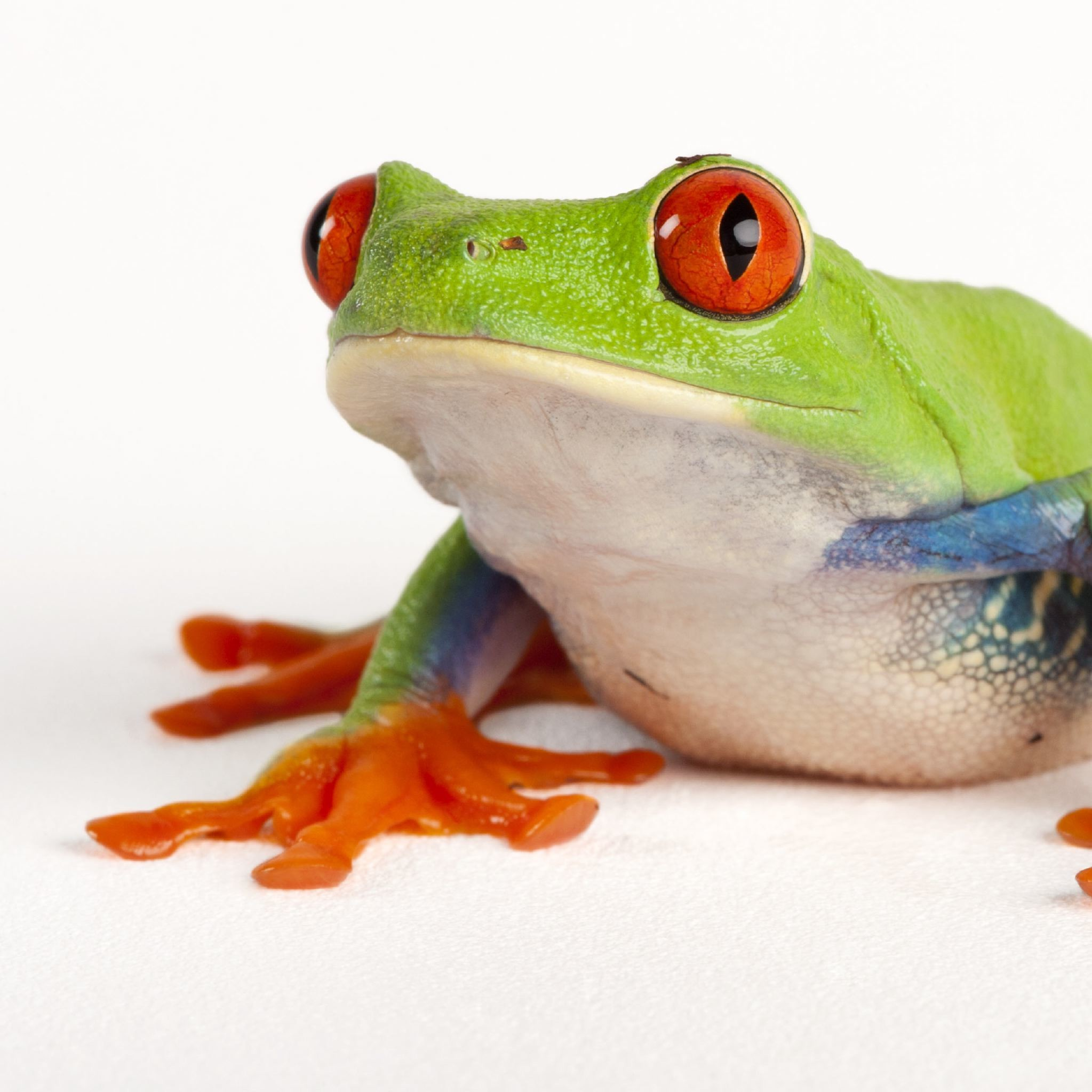 Res: 2047x2047, HQ Red Eyed Tree Frog Wallpapers | File 258.52Kb