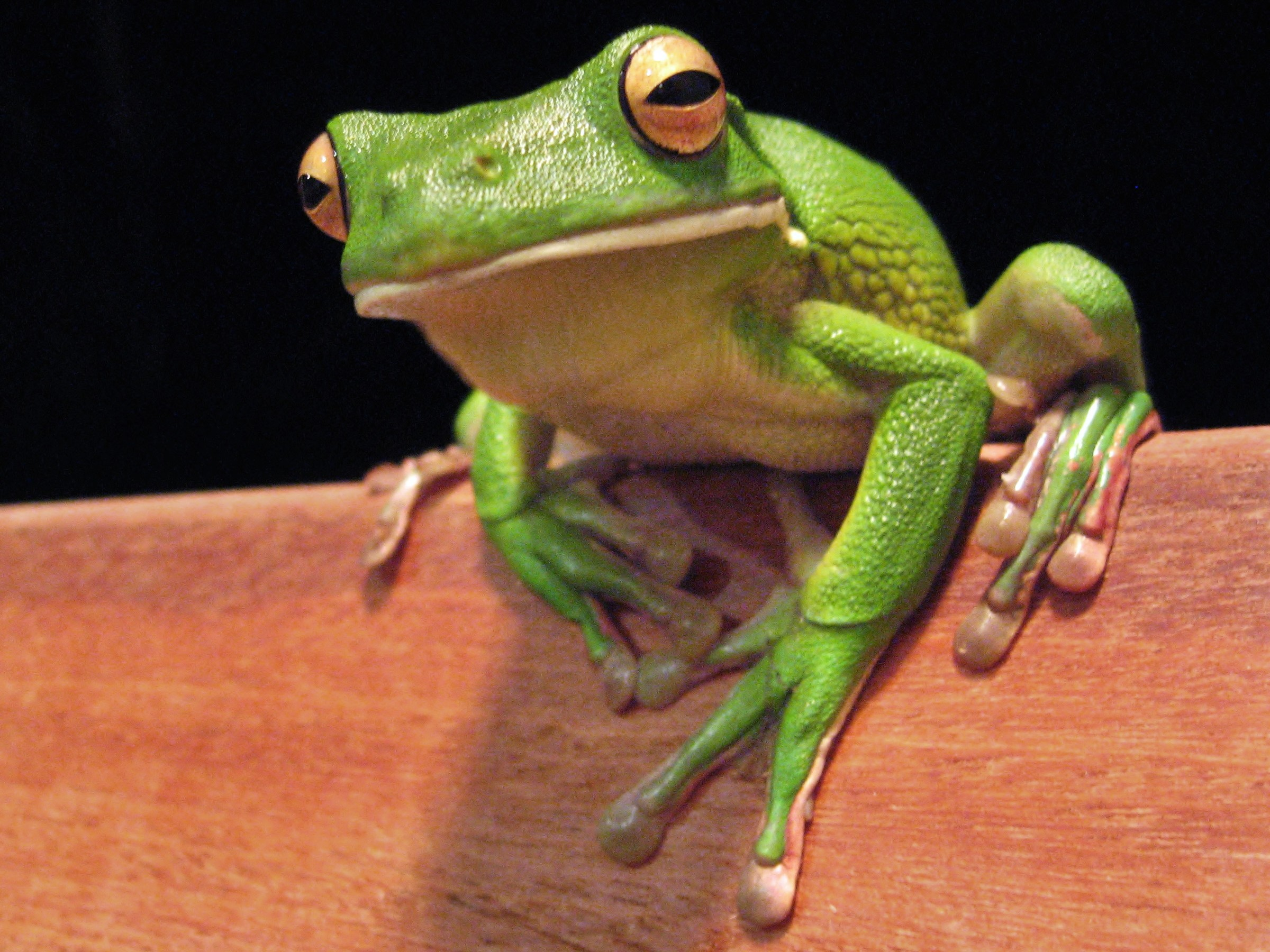 Res: 2400x1800, White-Lipped Tree Frog Wallpapers 5 - 2400 X 1800