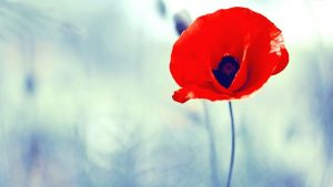 Poppy Flower wallpapers