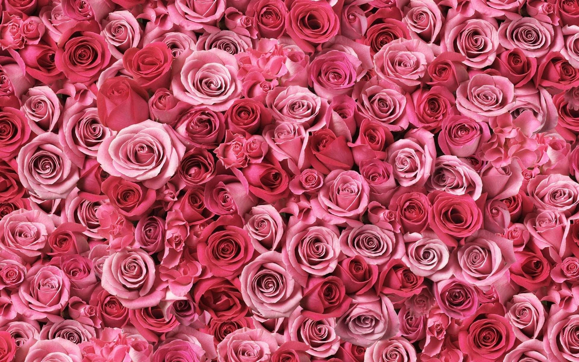 Res: 1920x1200, Flowers, Wallpapers, Pink, Rose, Flower, Countless, Wallpapers381 Wallpaper