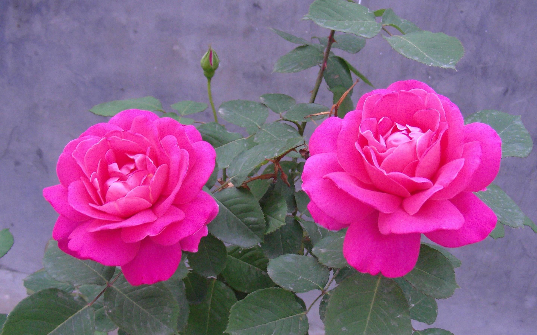 Res: 2880x1800, Pink Rose Flower Wallpaper 7 Hd Wallpaper
