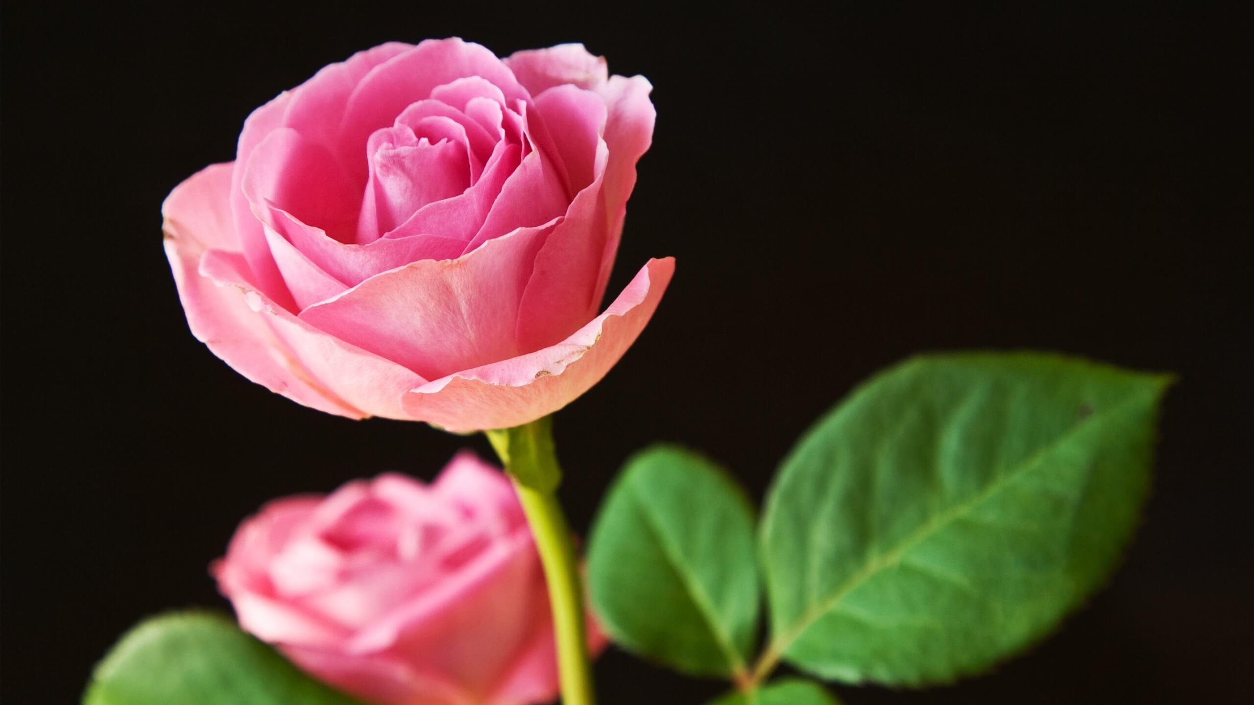 Res: 2560x1440, Pink rose flower. Download wallpaper