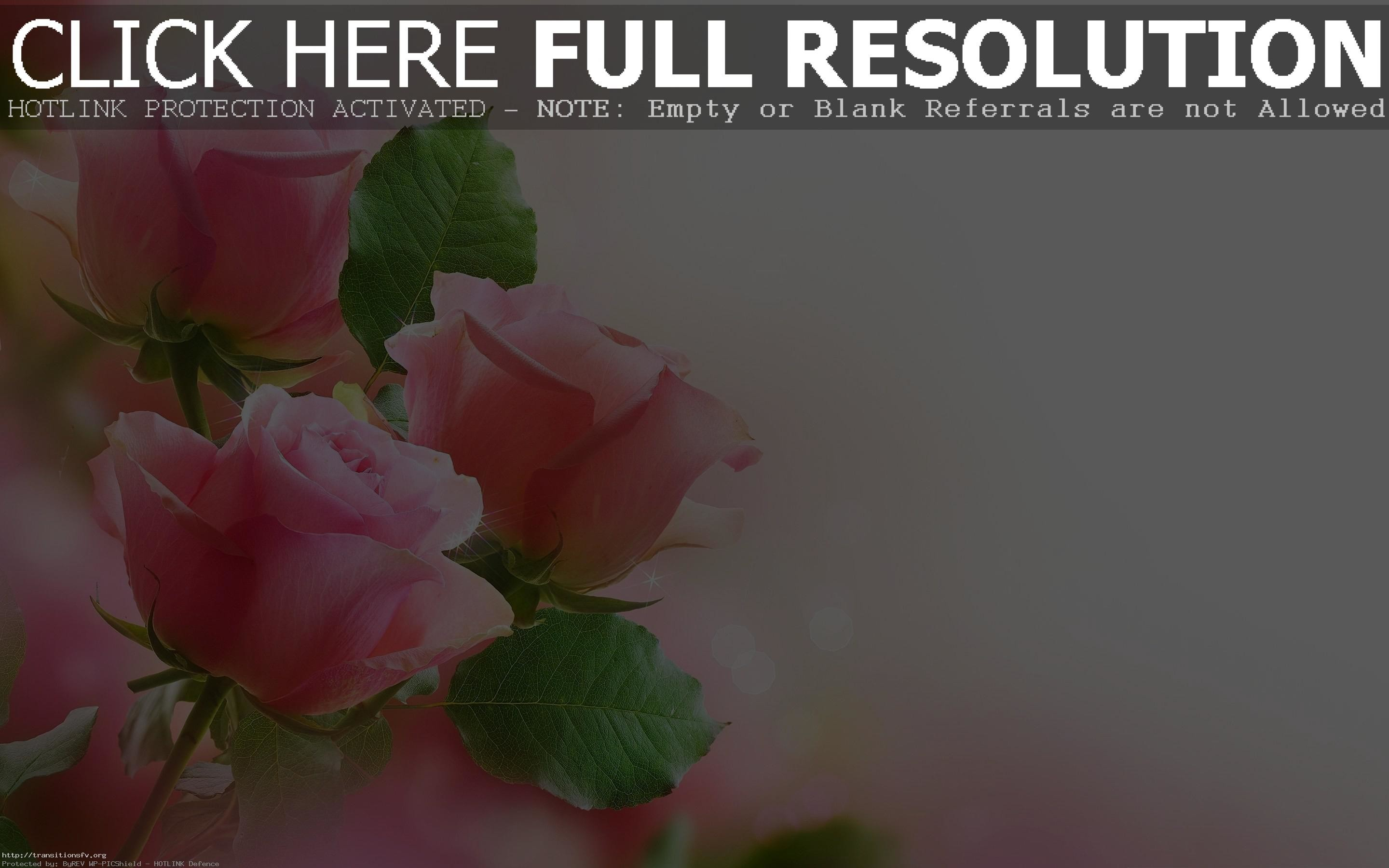 Res: 2880x1800, Hd Pink Rose Flowers Wallpaper Full Size Hire Backgrounds For Fair Flower  Images