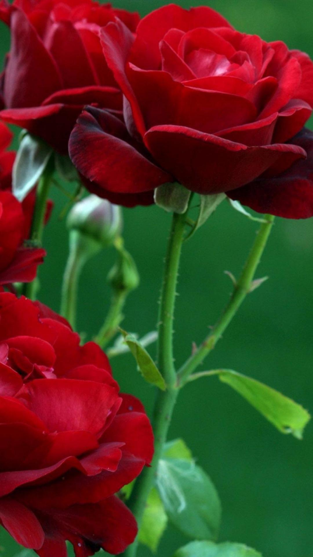 Res: 1080x1920, rose ...