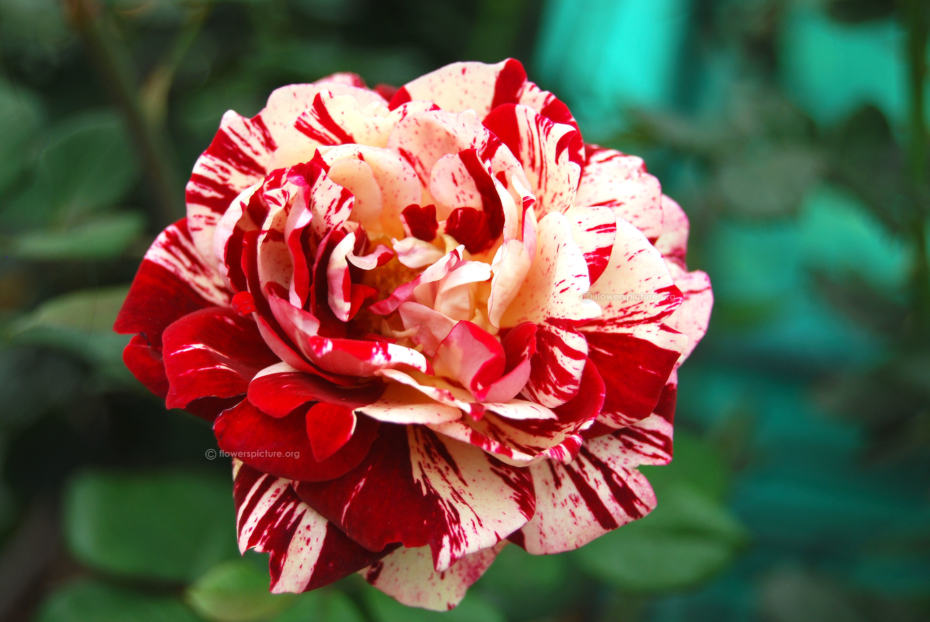Res: 3000x2008, Red with white striped rock and roll rose
