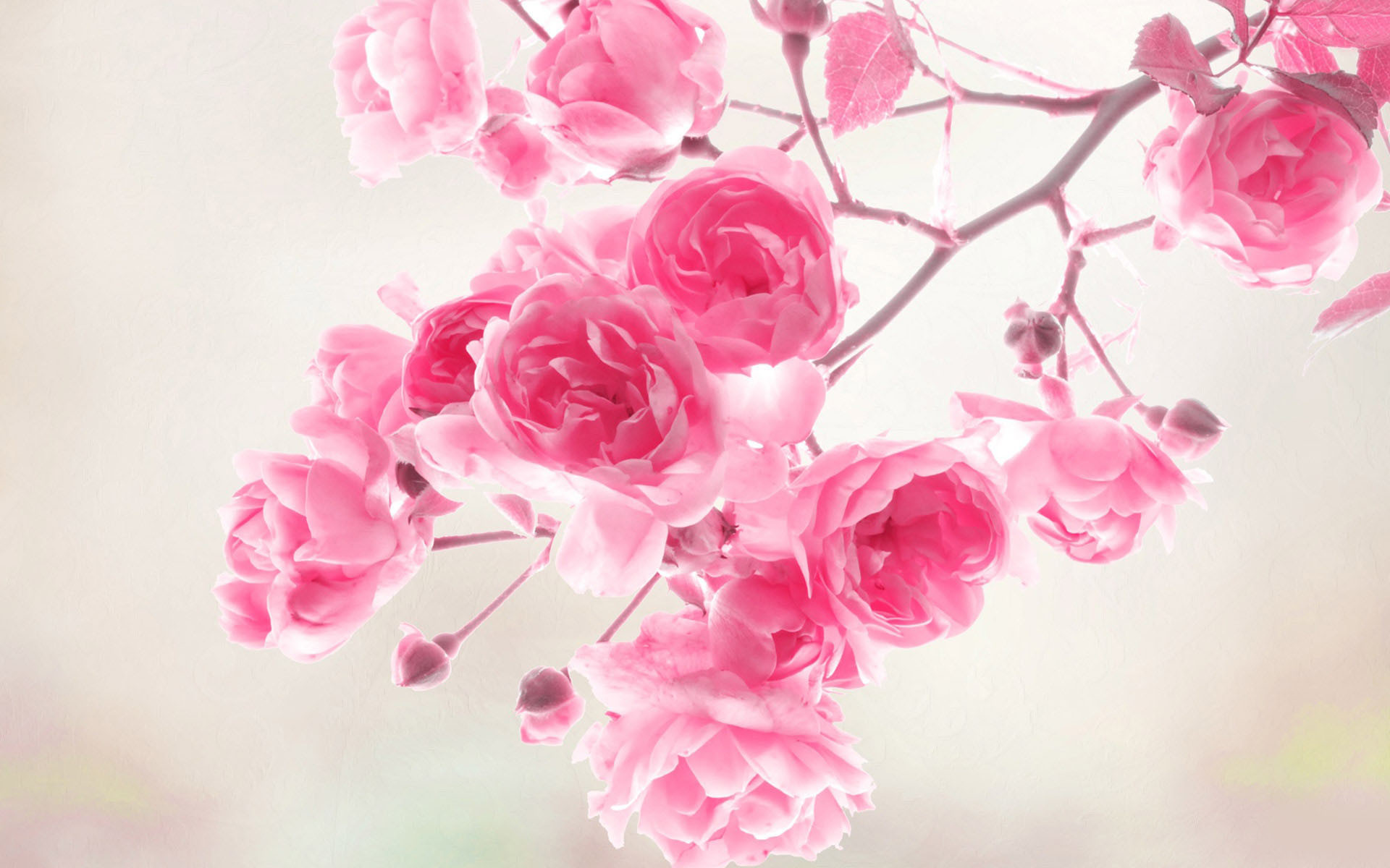 Res: 1920x1200, Size: 1024 x 640 roses flower wallpaper