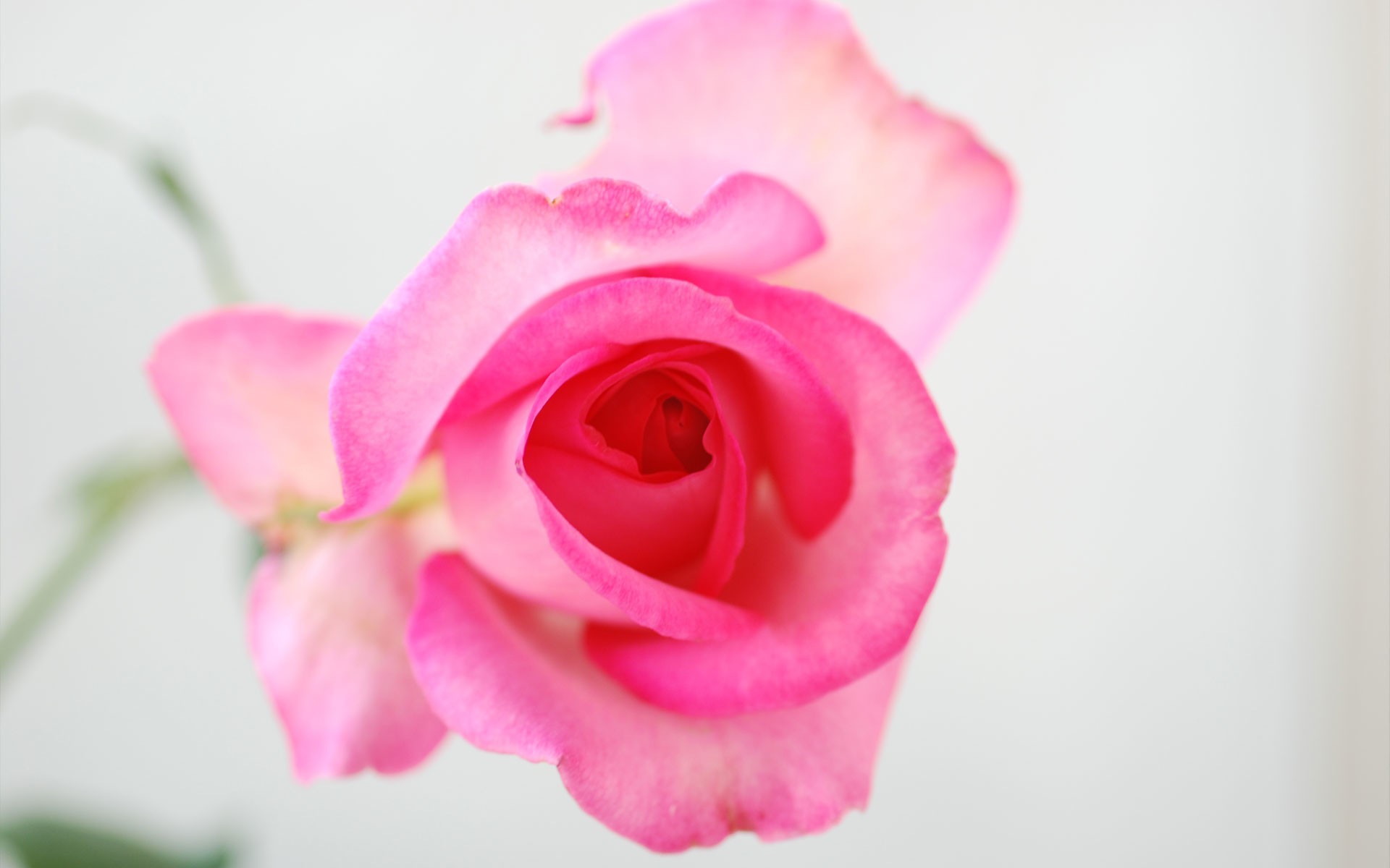 Res: 1920x1200, Image: rose flower wallpapers and stock photos. Â«