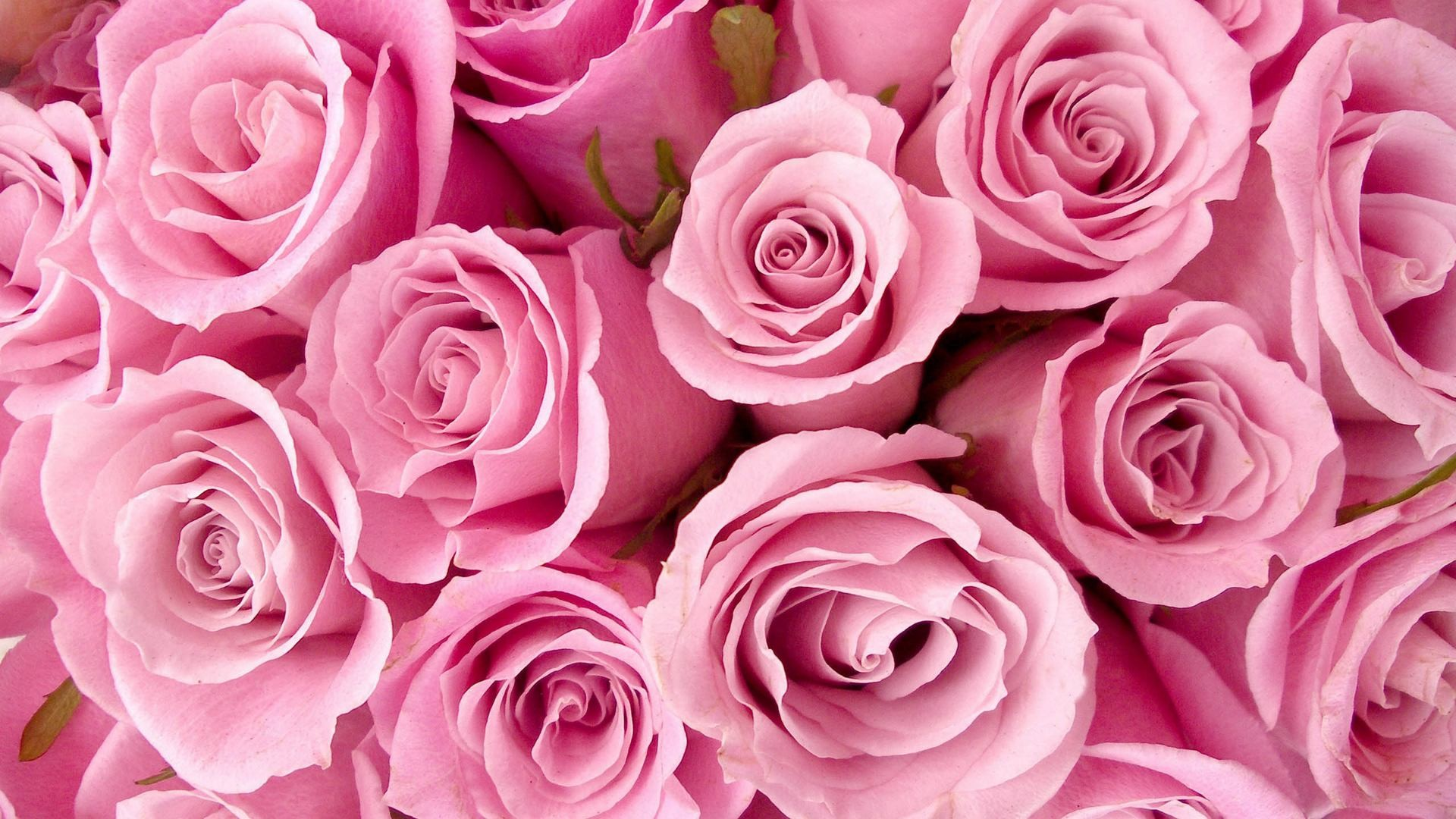 Res: 1920x1080, Pink Roses