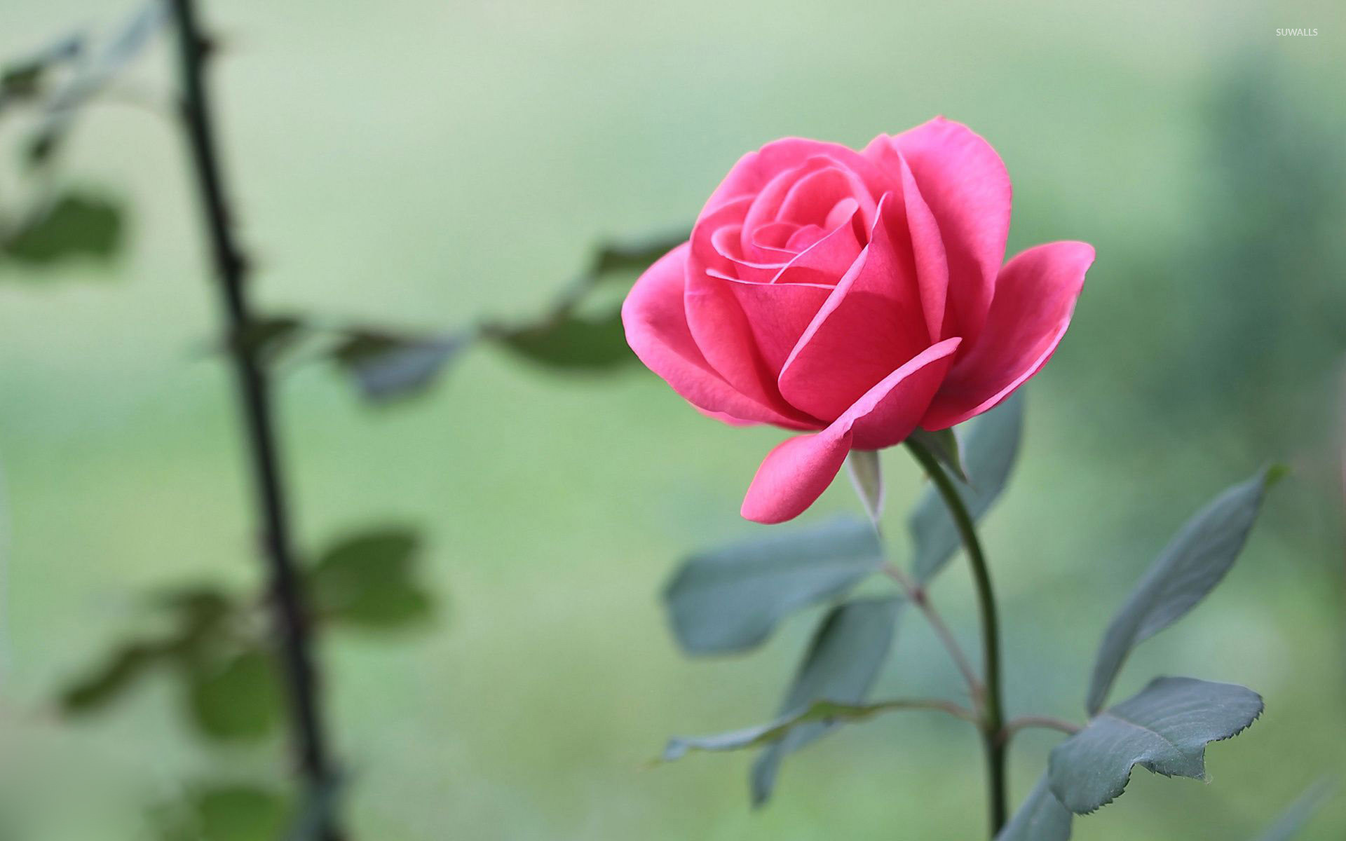 Res: 1920x1200, Beautiful pink rose wallpaper