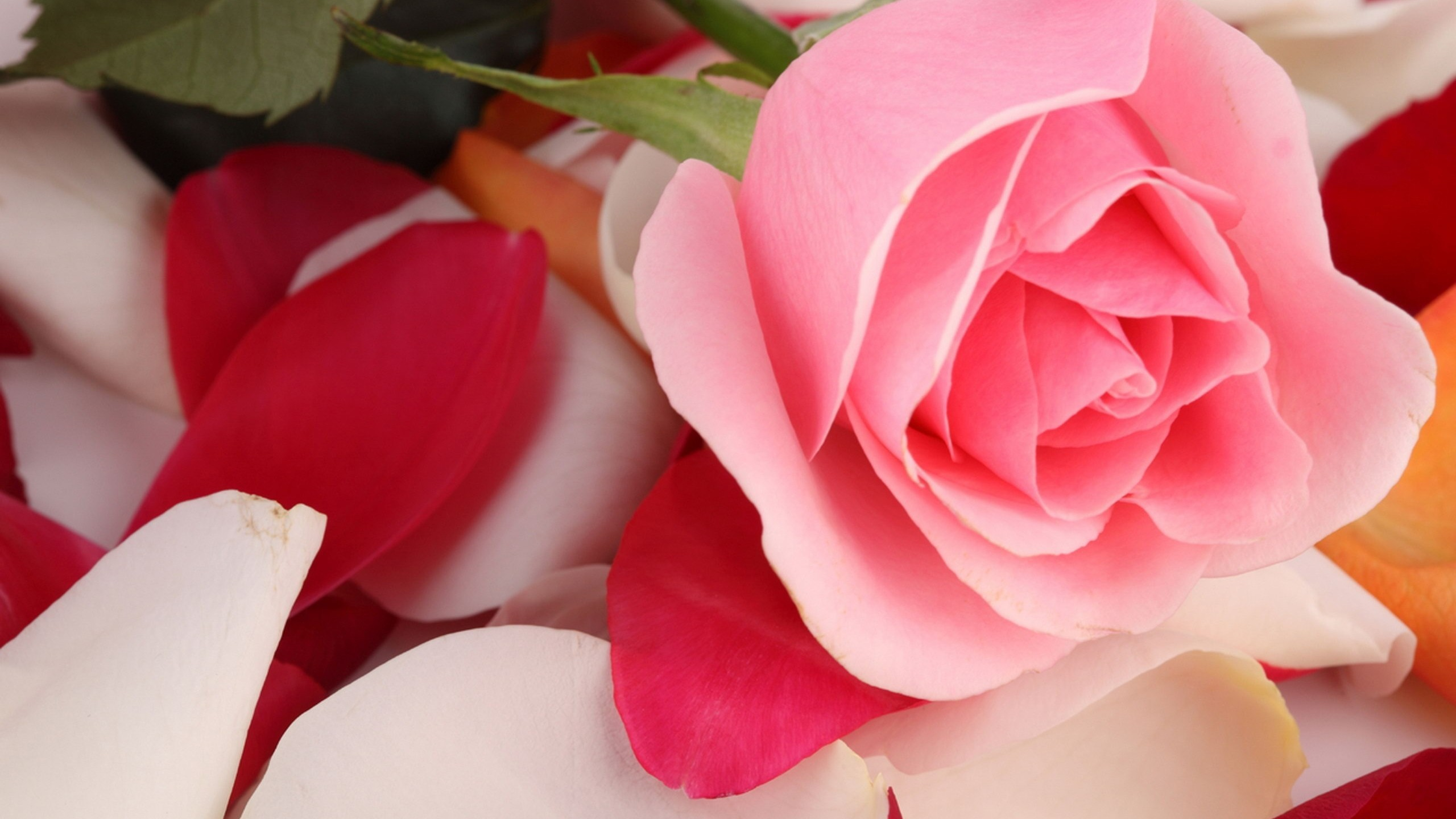 Res: 2560x1440, Flowers / Pink rose Wallpaper