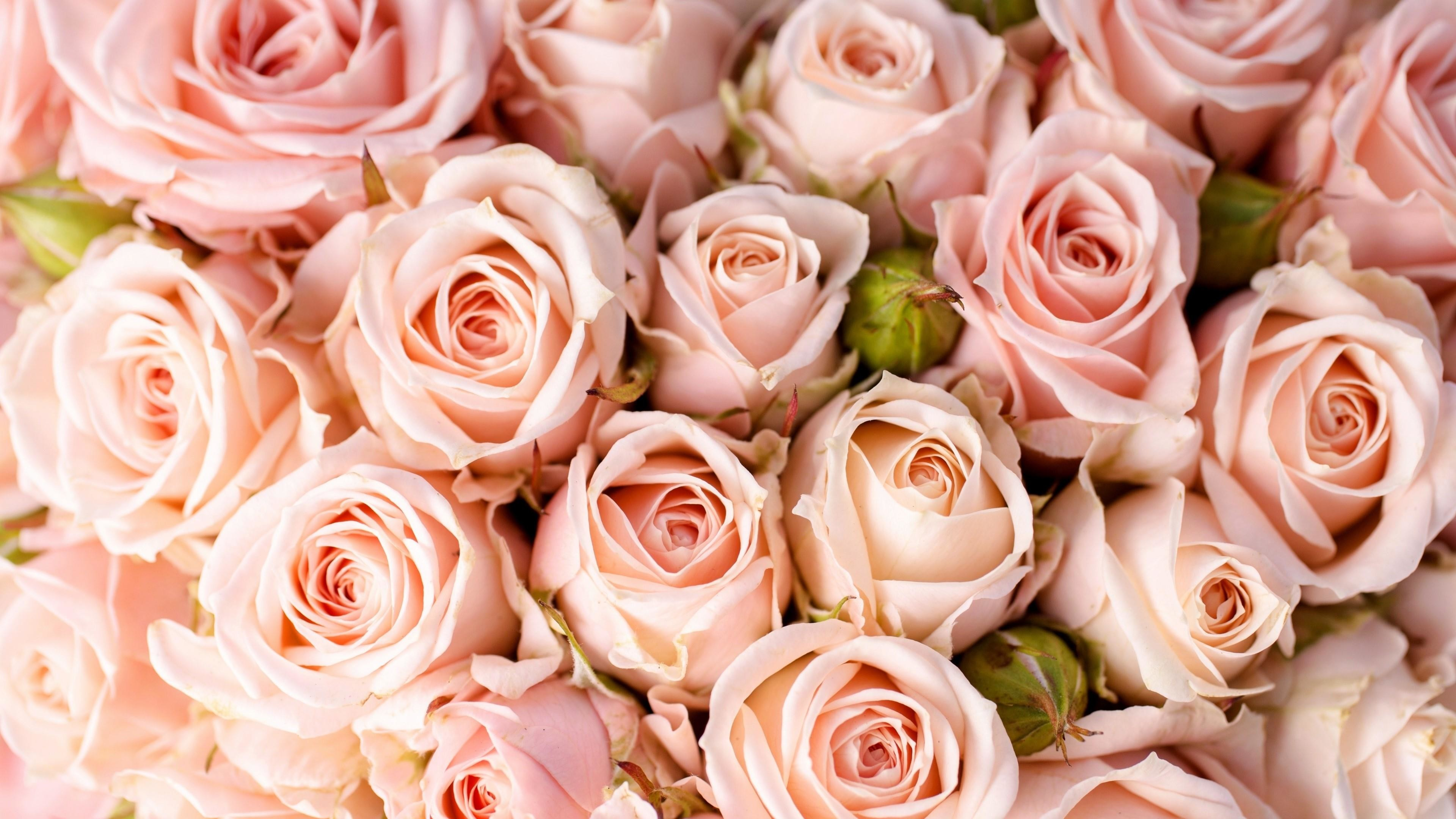 Res: 3840x2160, Pale Pink Rose Wallpaper | Wallpaper Studio 10 | Tens of thousands HD and  UltraHD wallpapers for Android, Windows and Xbox