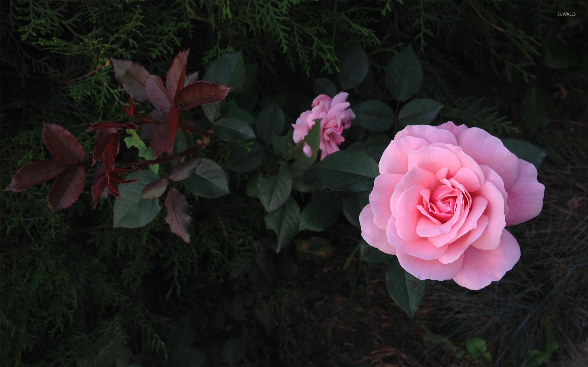 Res: 1920x1200, Pink Rose wallpaper