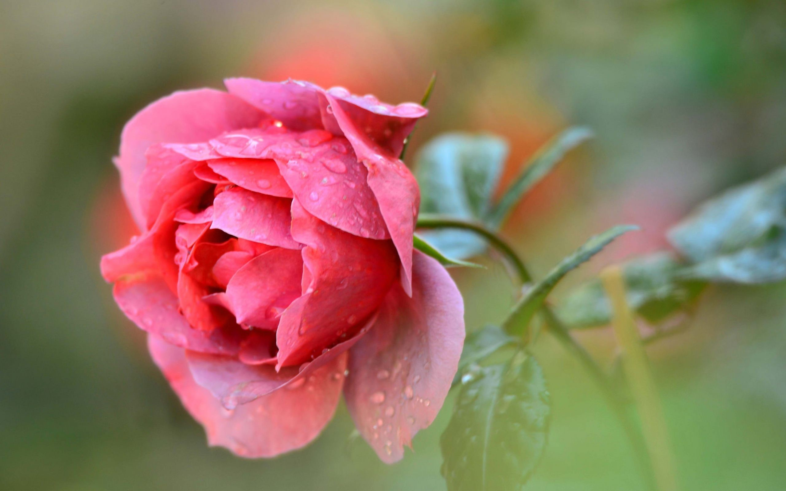 Res: 2560x1600, Fresh Pink Rose Wallpaper for desktop and mobile in high resolution free  download. We have