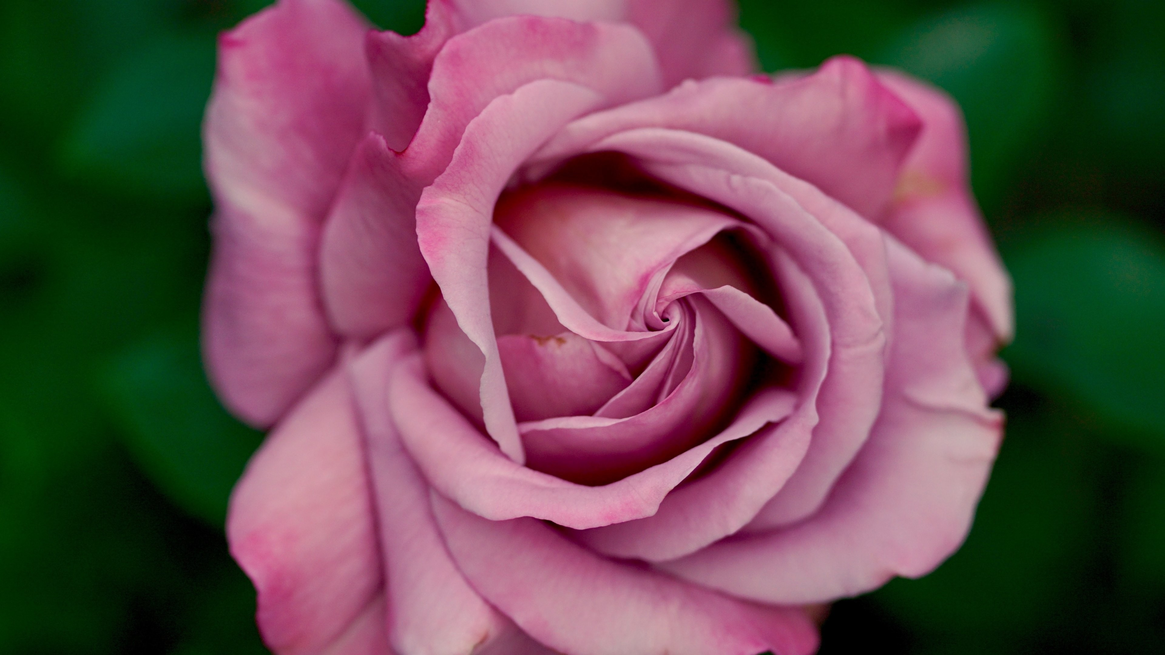 Res: 3840x2160, Dusty Pink Rose