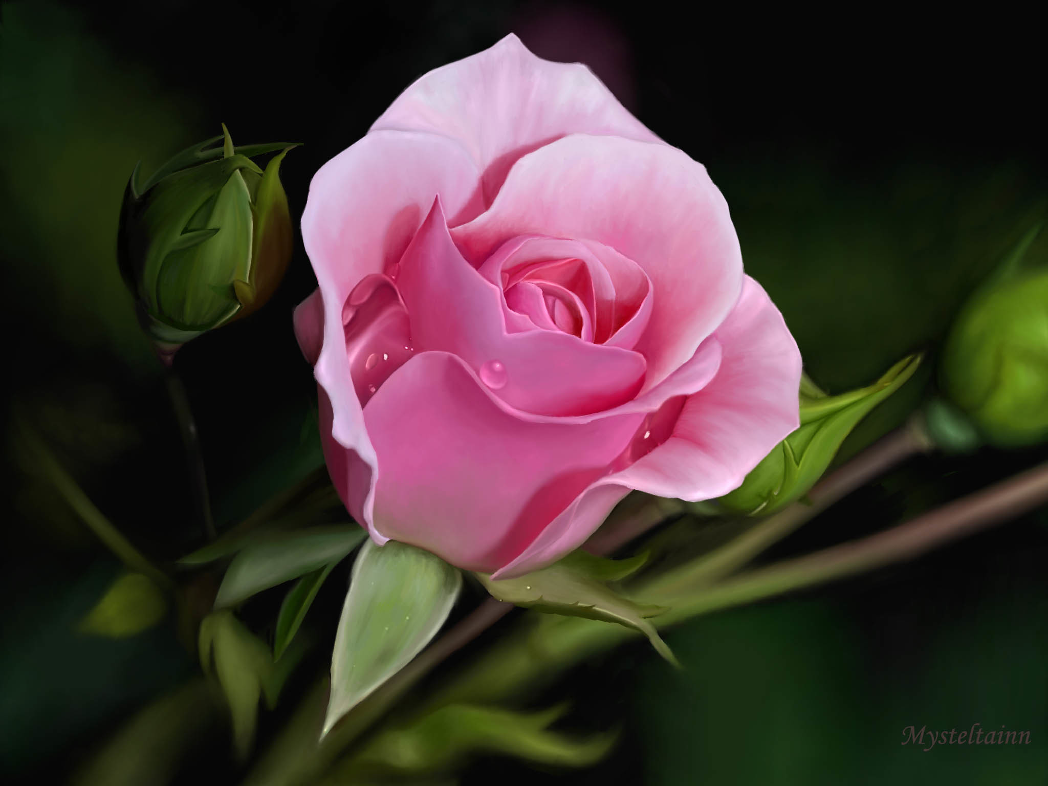 Res: 2048x1536, Great Pink Rose. Â«