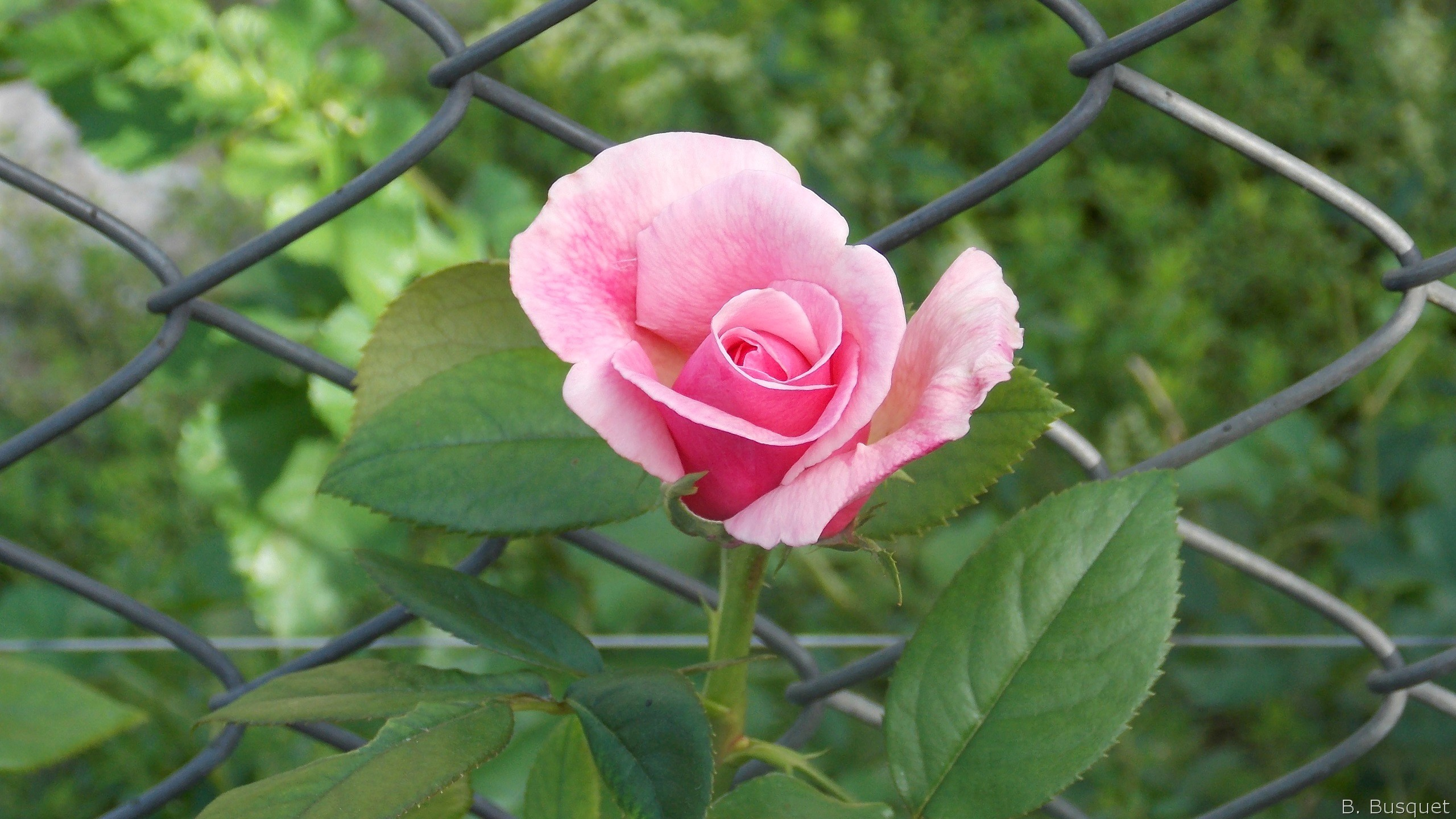 Res: 2560x1440, Mesh fence and a pink rose