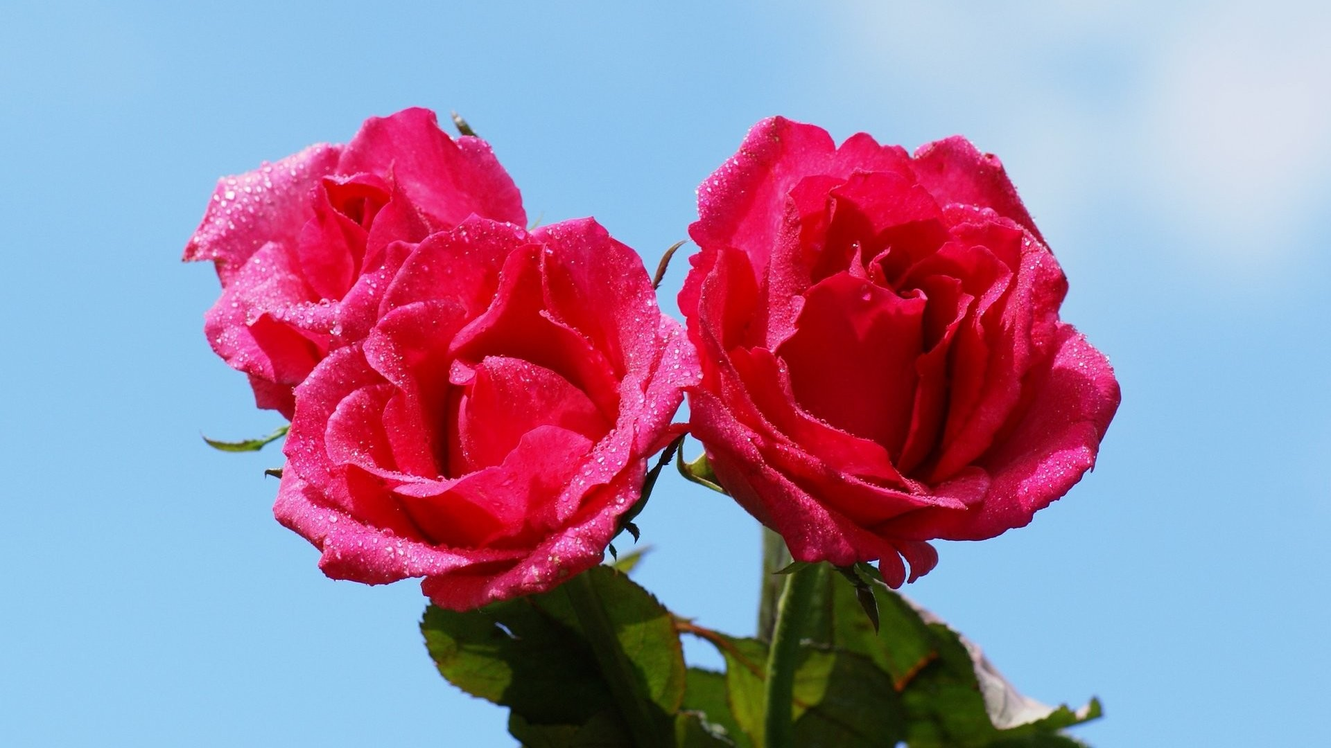 Res: 1920x1080, Dark Pink Rose Wallpapers Group (68+)