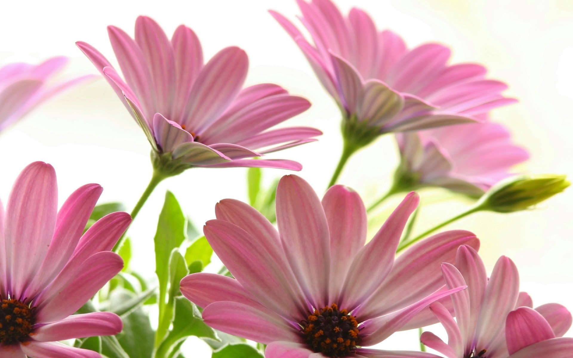 Res: 1920x1200, Pink Daisies Wallpaper Flowers Nature