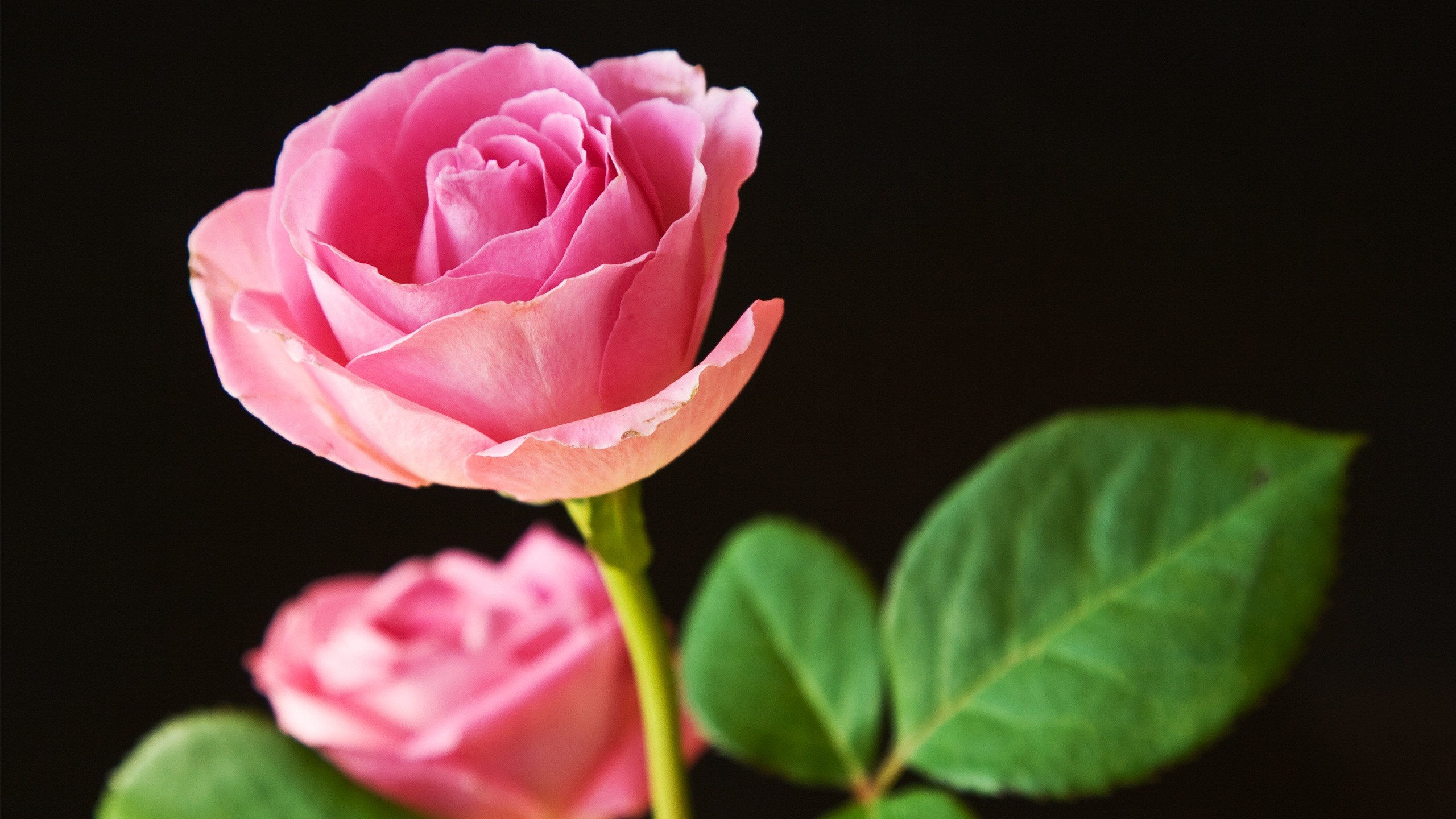 Res: 2560x1440, Tags: Pink Best Roses