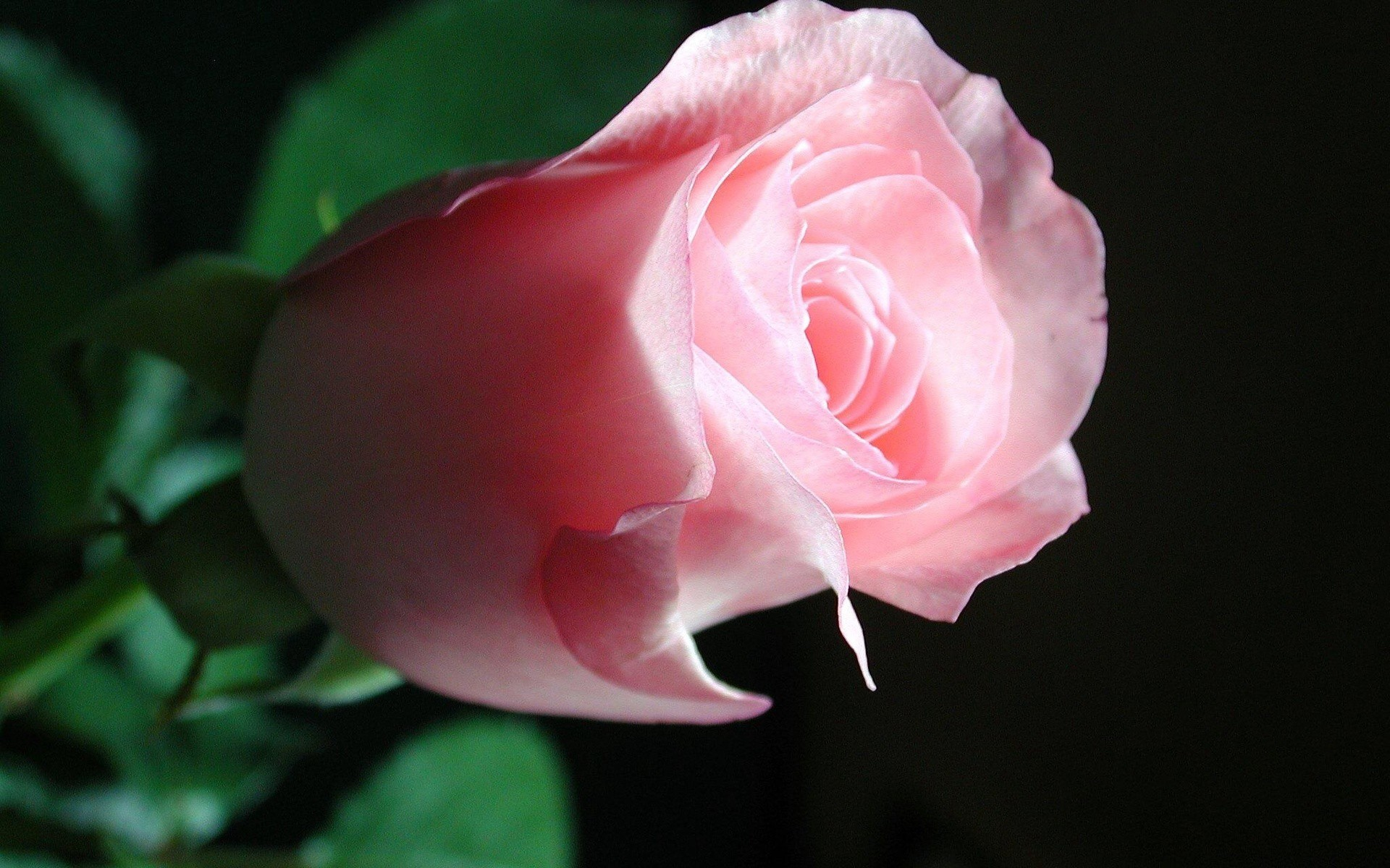 Res: 1920x1200, Pink-Roses-HD-Wallpapers