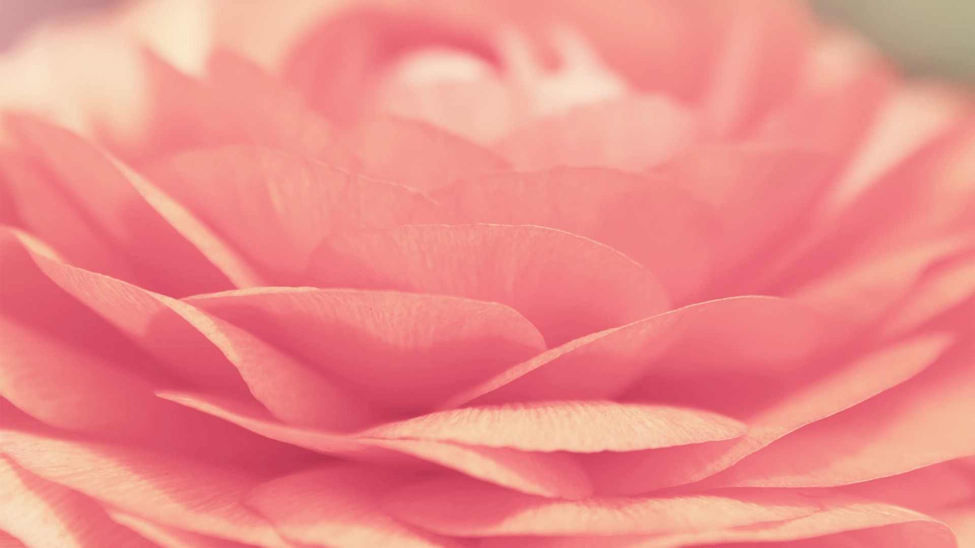 Res: 1920x1080, Image: Pink Rose wallpapers and stock photos. Â«