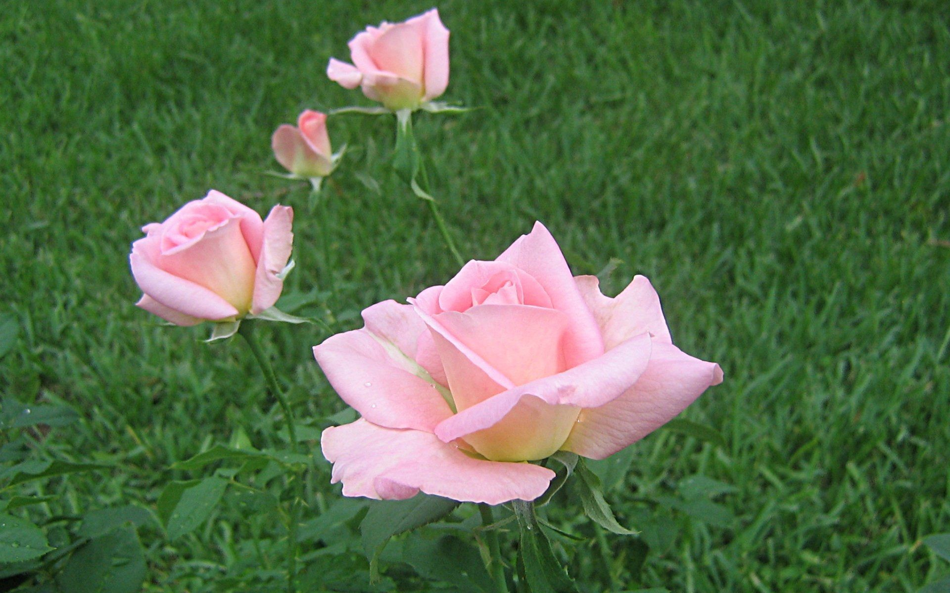 Res: 1920x1200, Pink Roses Widescreen Wallpapers px