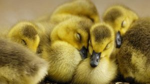 Duckling wallpapers