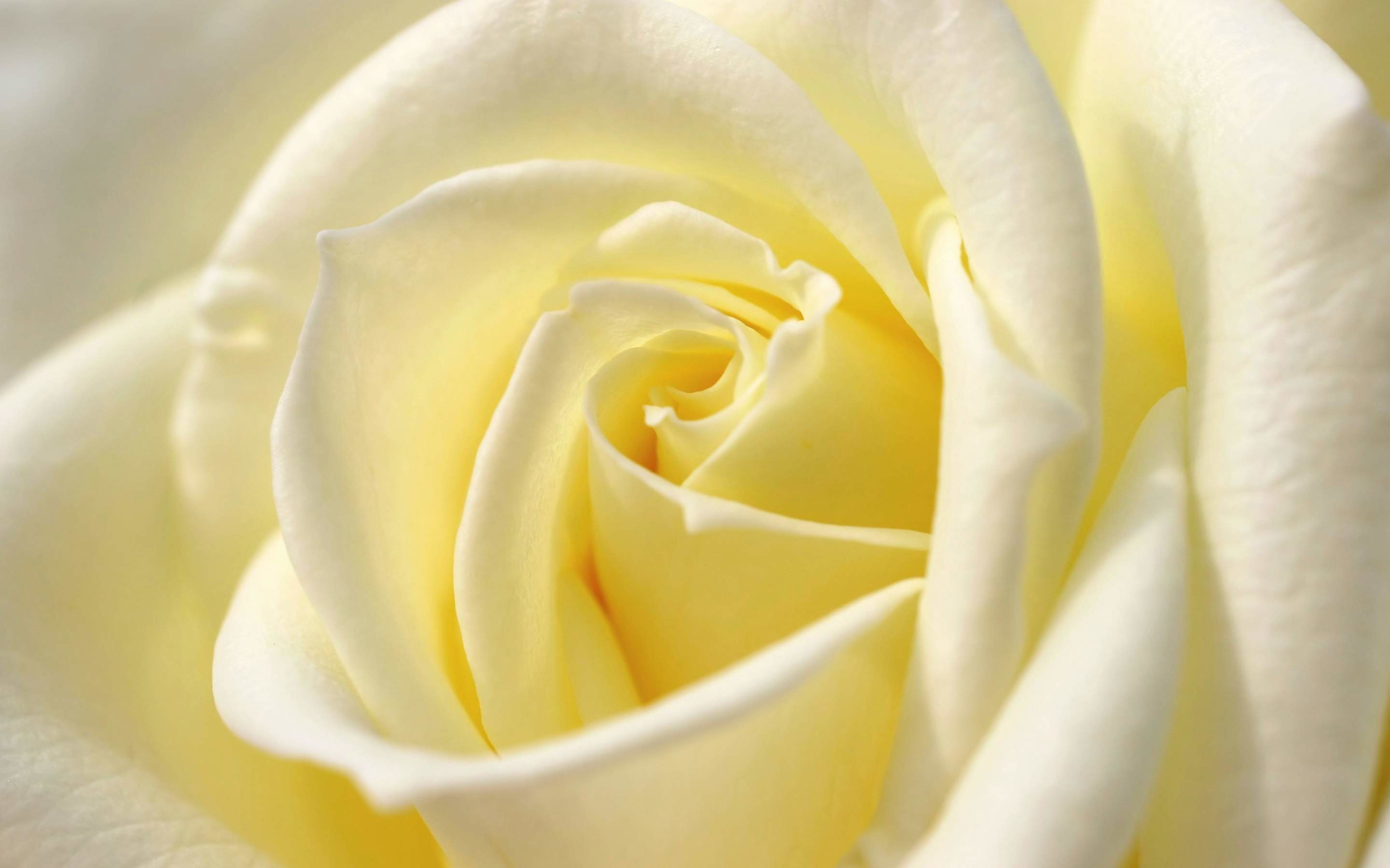 Res: 2880x1800, White Rose Widescreen